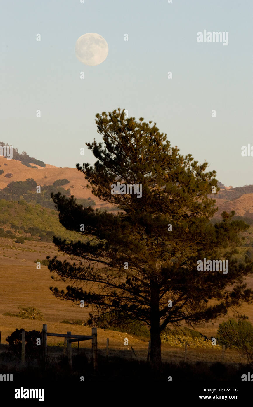 Full Moon Rise over Pine Tree - Stock Image