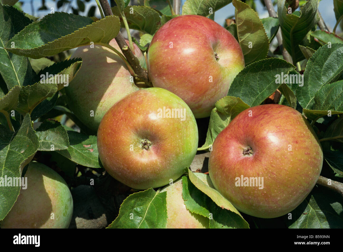 Close up of Ontario apples on a tree in the Potager du Roi the Kings kitchen garden at the Chateau de Versailles - Stock Image