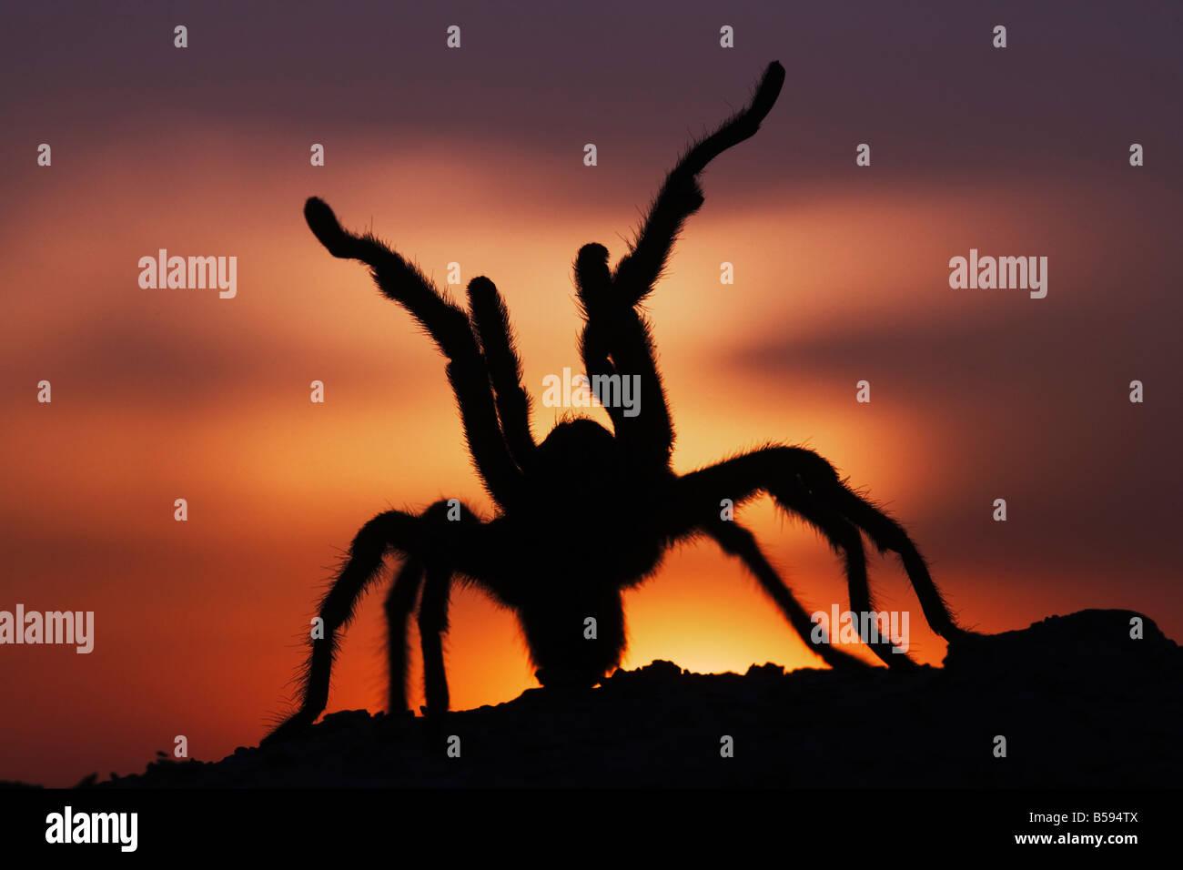 Texas Brown Tarantula Aphonopelma hentzi adult at sunset in defense posture Sinton Corpus Christi Coastal Bend Texas - Stock Image