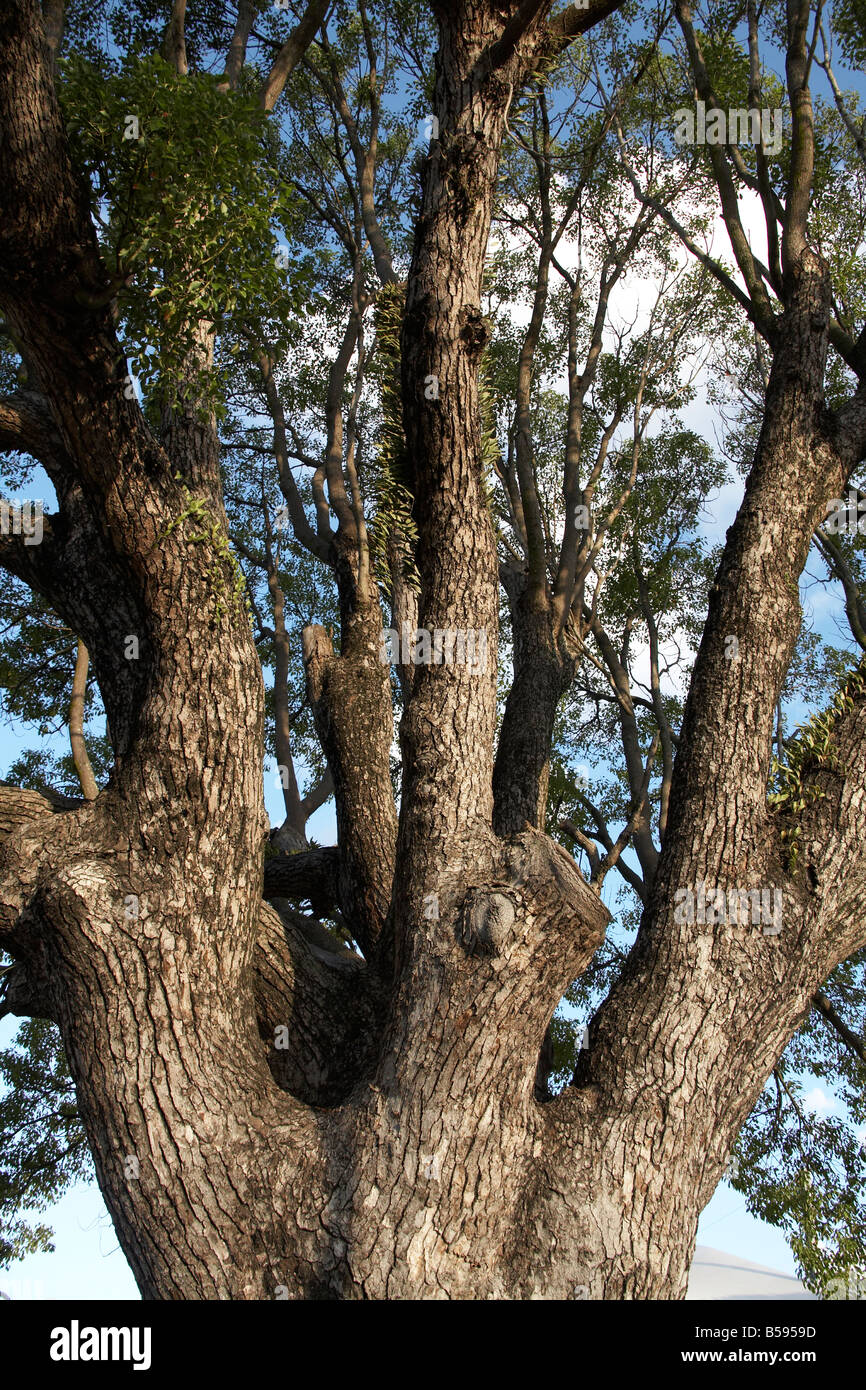 Large old mature tree in Sunshine Coast Queensland QLD Australia - Stock Image
