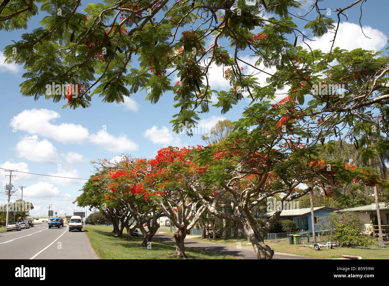 Ponciana trees with flame red flowers by road on North Stradbrook Island Queensland QLD Australia - Stock Image