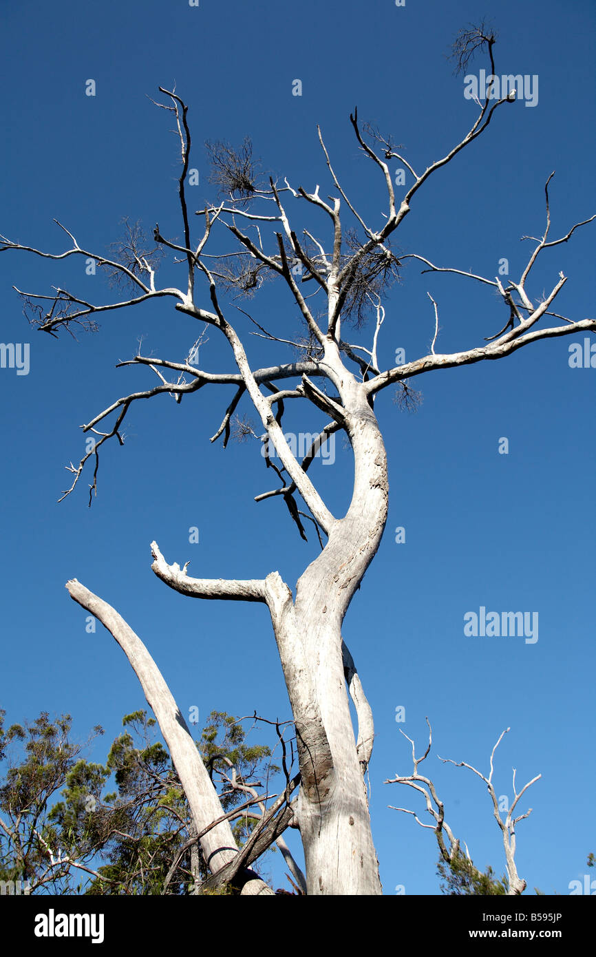 Old dead leafless standing tree against blue sky on North Stradbroke Island Queensland QLD Australia - Stock Image