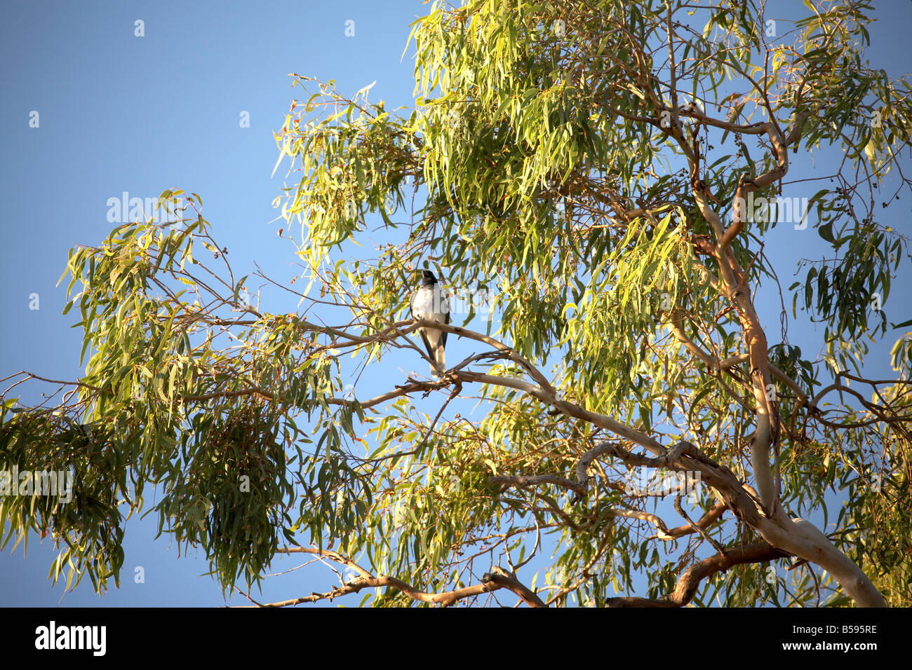 Bird in eucalyptus or gum tree at Amity Point on North Stradbroke Island Queensland QLD Australia - Stock Image