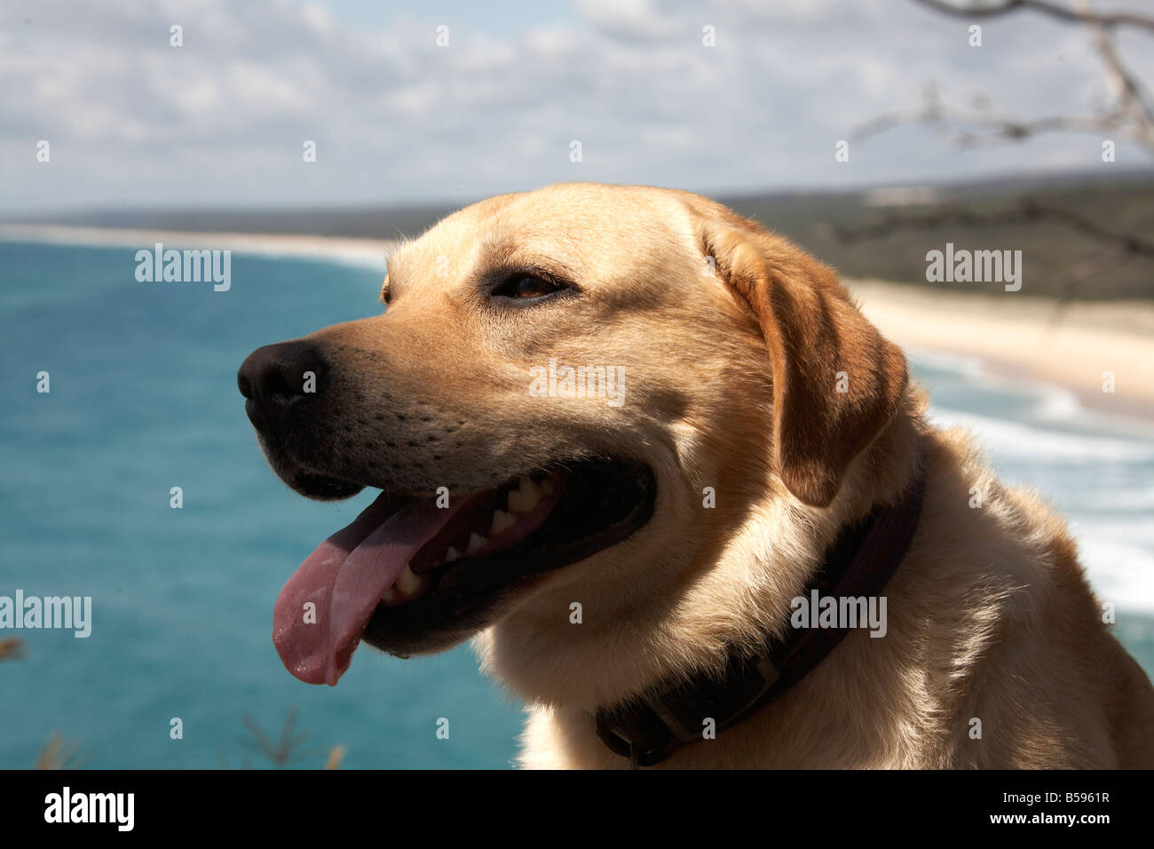 Golden Labrador Retriever dog with Main Beach in distance on North Stradbroke Island Queensland QLD Australia - Stock Image