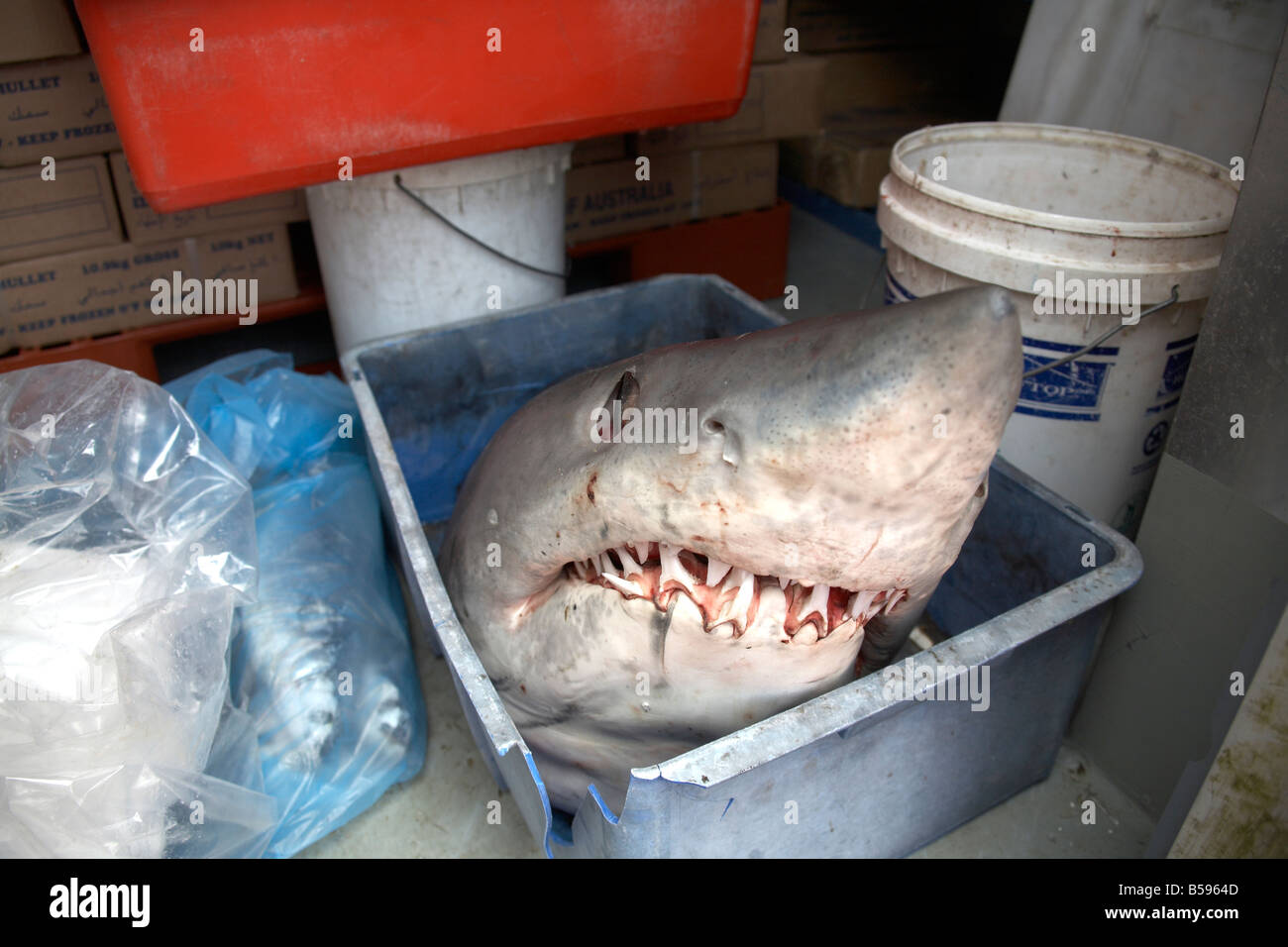 Shark s head in a tub caught off coast of Queensland QLD Australia - Stock Image