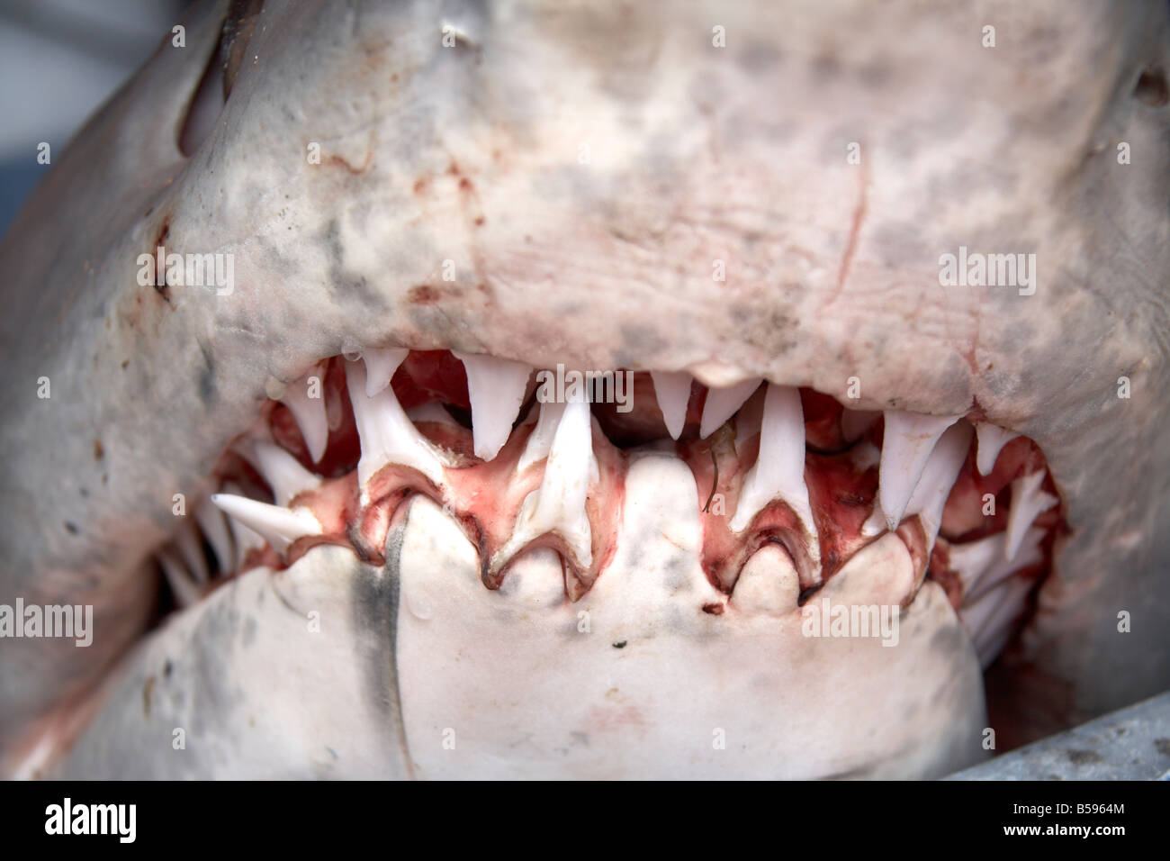 Shark s mouth with rows of sharp teeth caught off coast of Queensland QLD Australia - Stock Image
