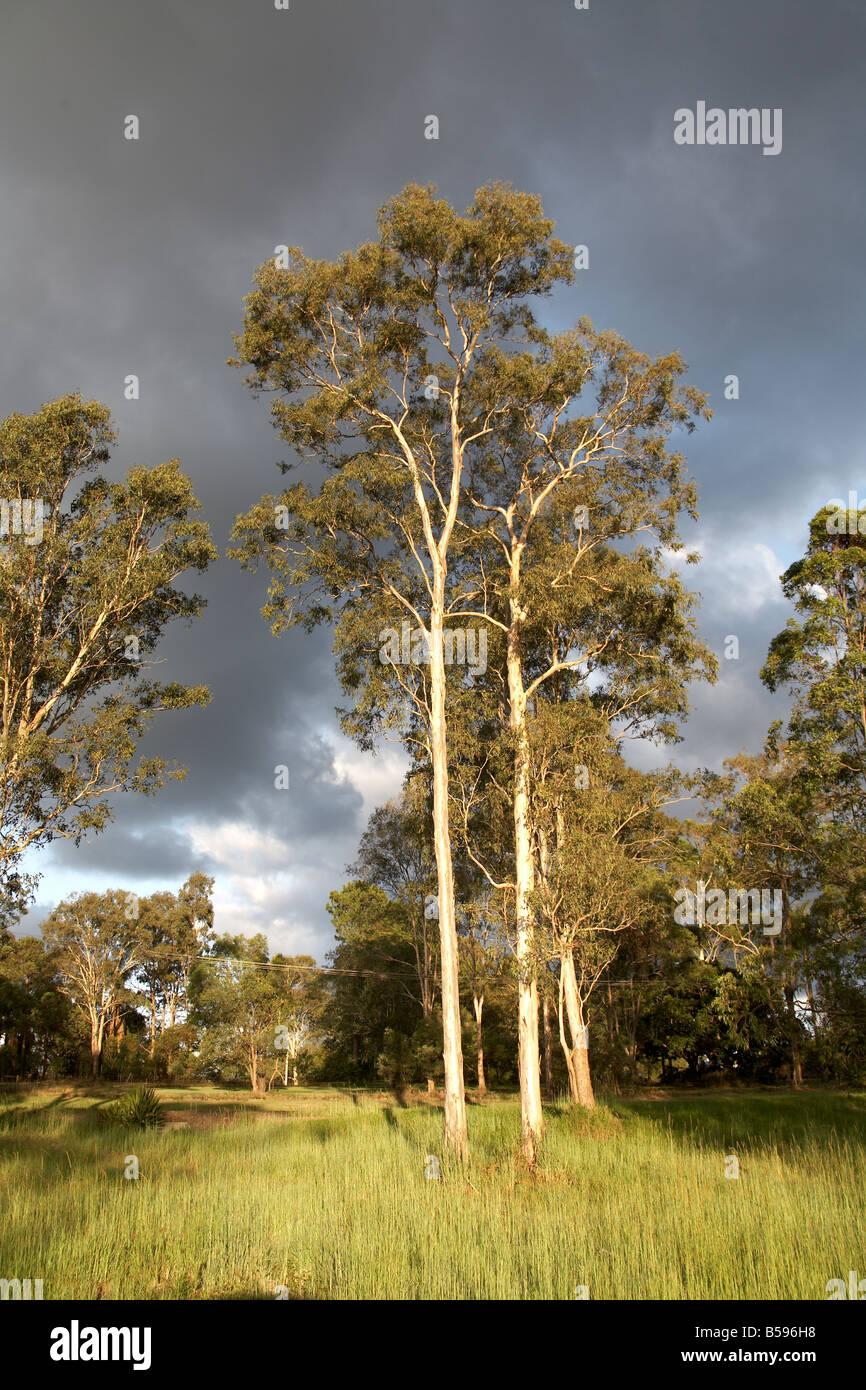 Eucalyptus trees in warm evening sunlight near Woodford in Queensland QLD Australia - Stock Image