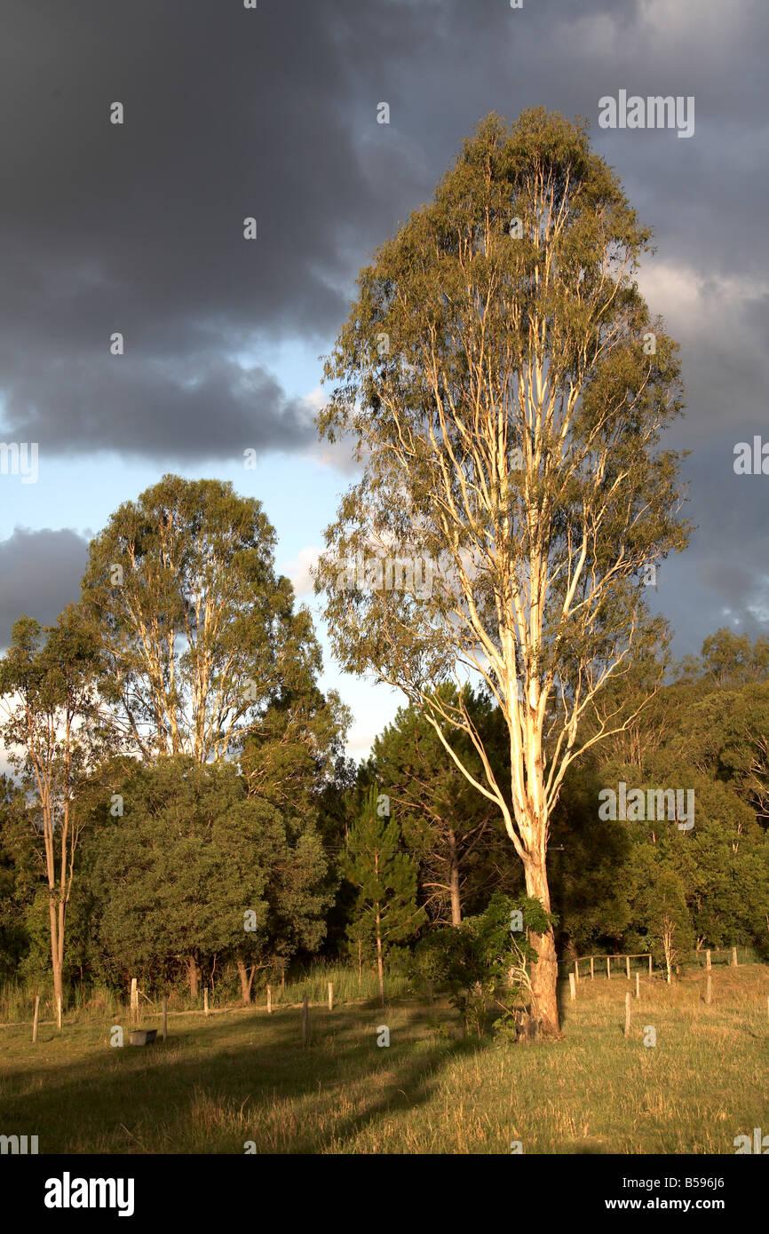 Eucalyptus trees in war evening sunlight near Woodford in Queensland QLD Australia - Stock Image
