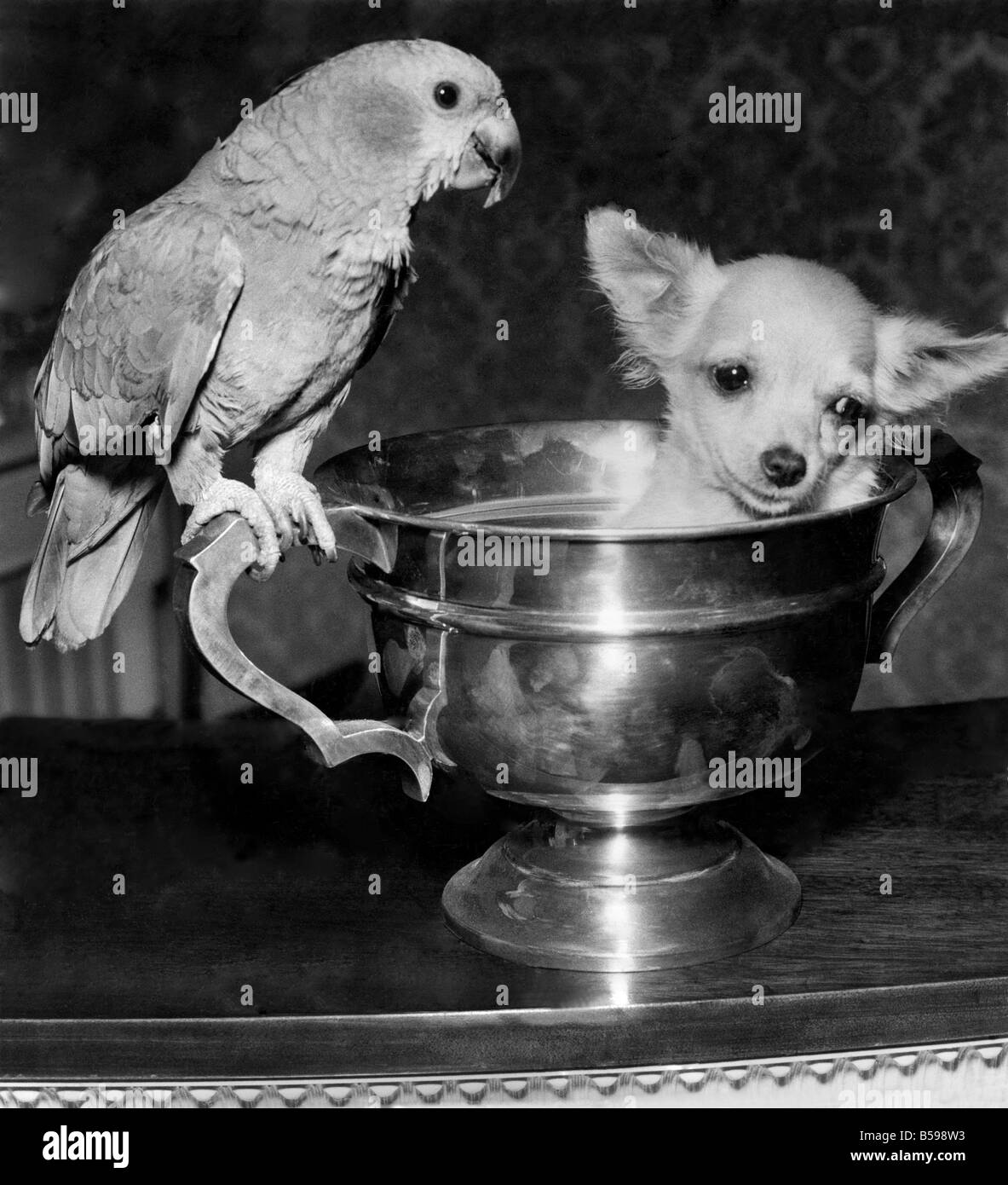These pets are such good friends that the parrot learned to bark before he could talk. Cedric, a two-year-old blue - Stock Image