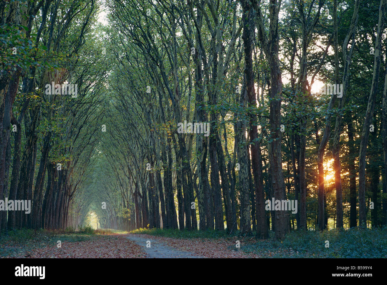 Avenue of trees with sun low in the sky behind, at Versailles, Ile de France, France, Europe - Stock Image