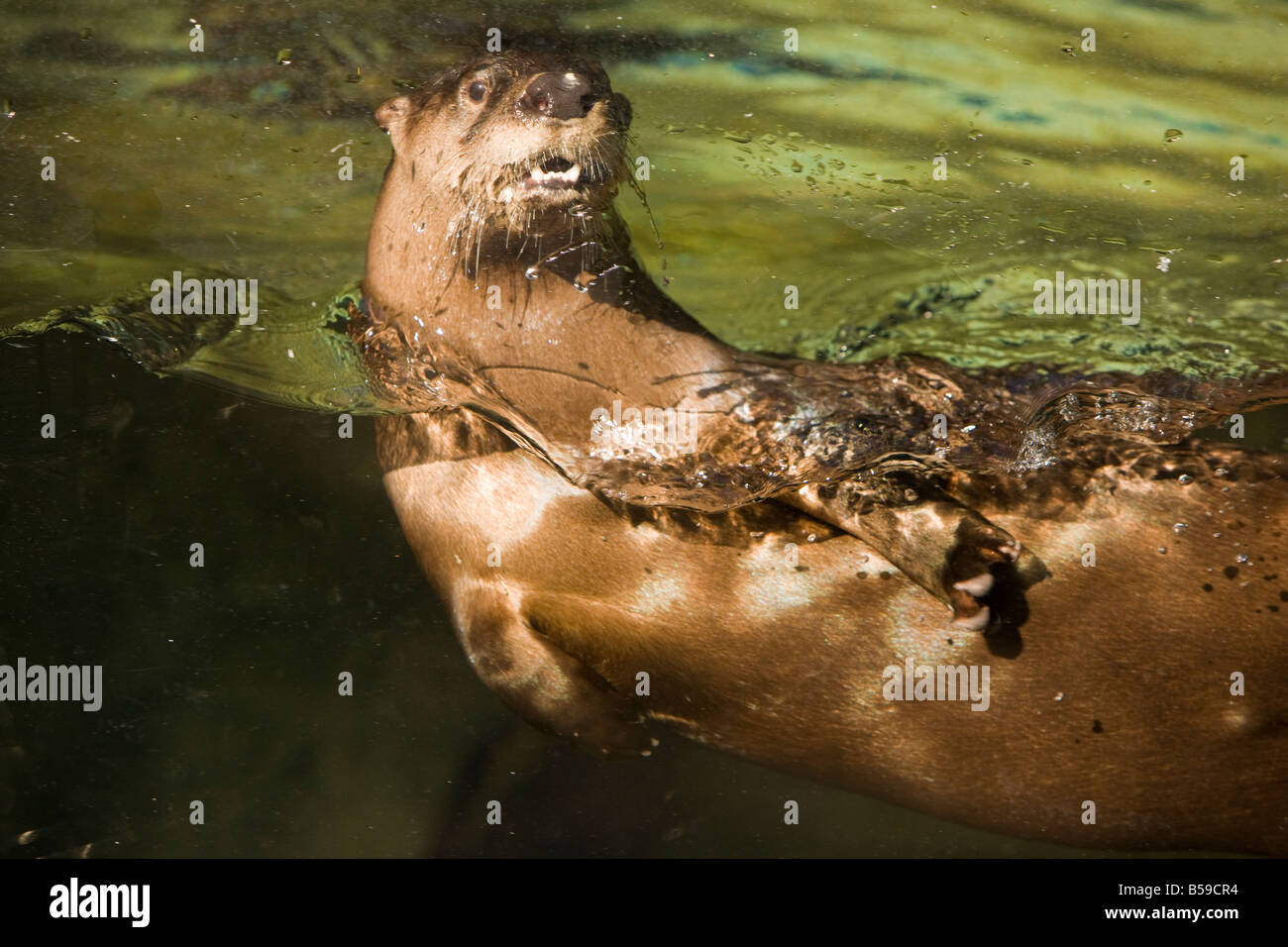 A Northern river otter (Lontra canadensis) plays in his aquarium home at Brookgreen Gardens,Murrells Inlet,South - Stock Image