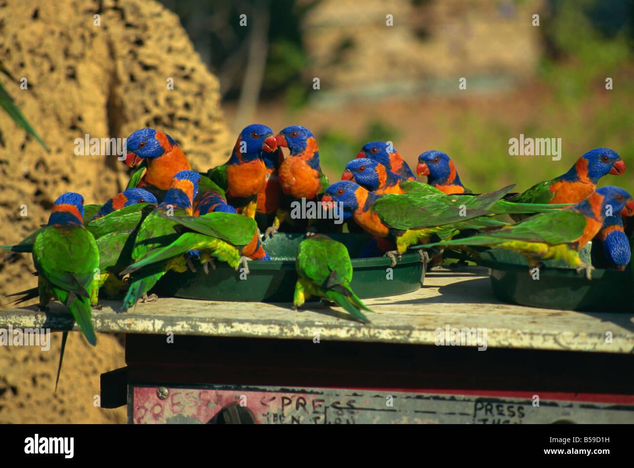 Rainbow lorikeets Northern Territory Australia Pacific - Stock Image