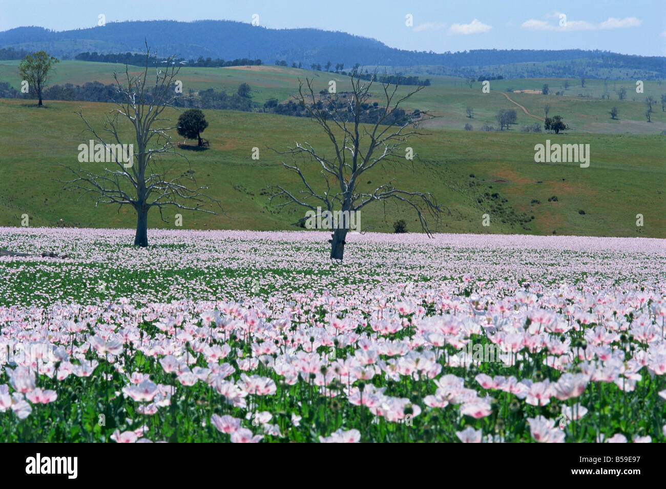 Fields of flowering opium poppies grown legally for morphine production, Tasmania, Australia, Pacific - Stock Image