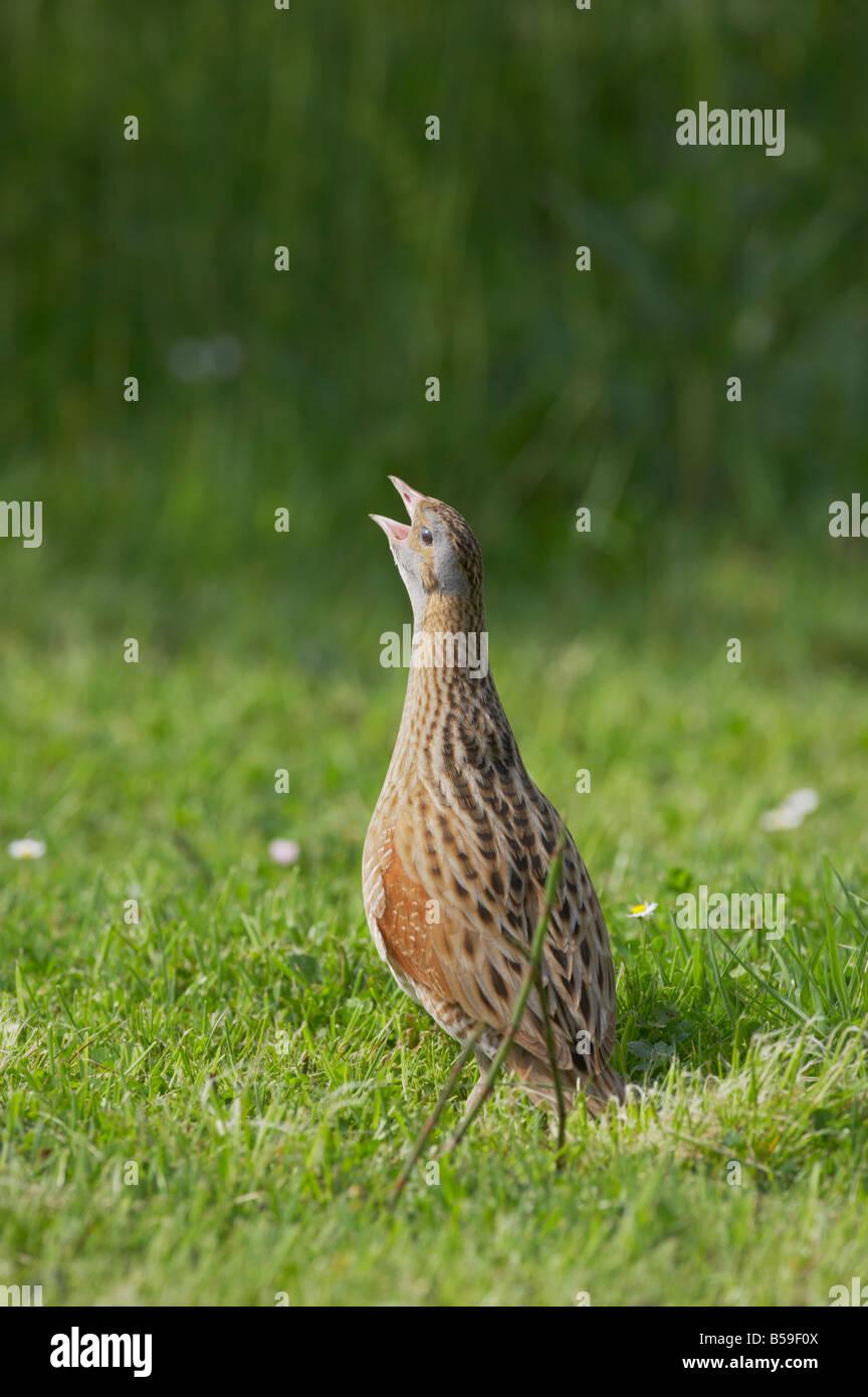 Corncrake Male calling Crex crex South Uist Outer Hebrides Scotland UK BI016656 - Stock Image