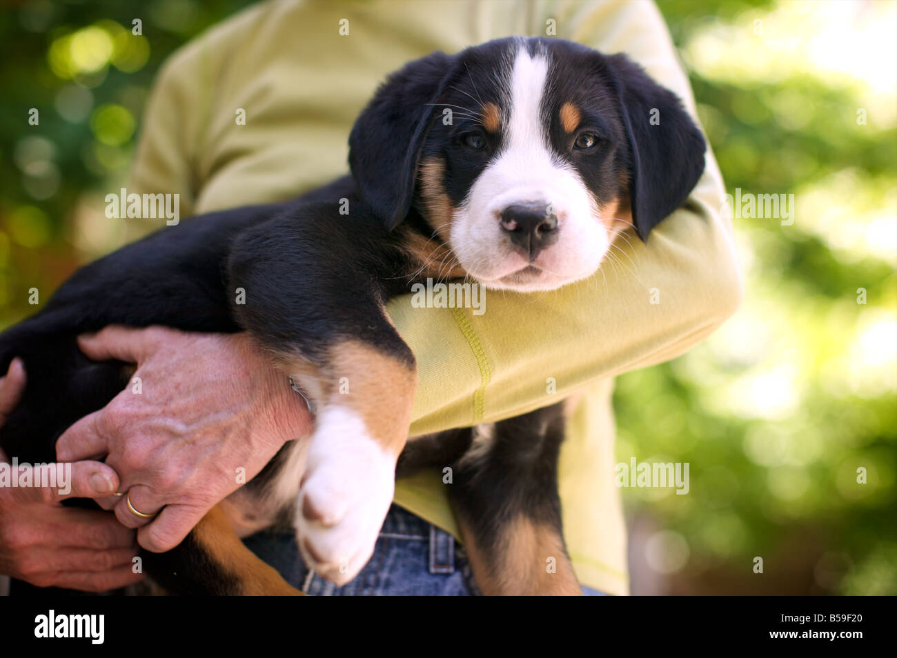 Handsome and soft young puppy perches adorably in his mother's arms. And what other way would he be expected - Stock Image
