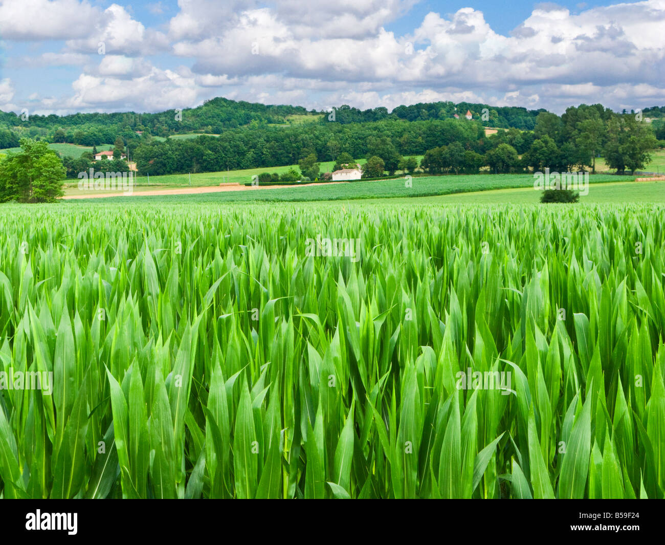 Field of maize in agriculture farmland in Tarn et Garonne, Southern France, Europe - Stock Image