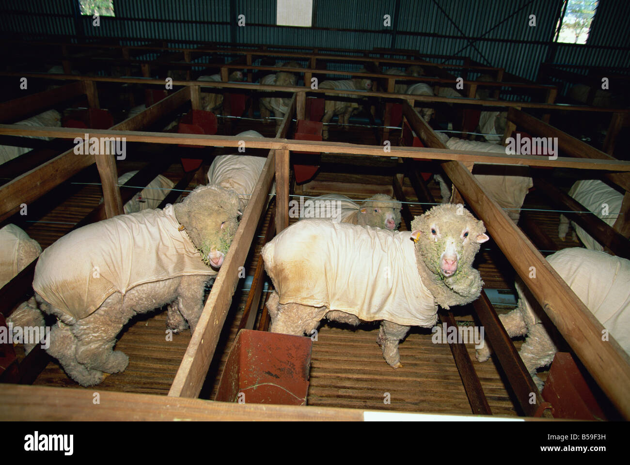 Sheep kept indoors to produce finer wool at the Wimmera Wool Factory, a community project at Horsham, Victoria, - Stock Image