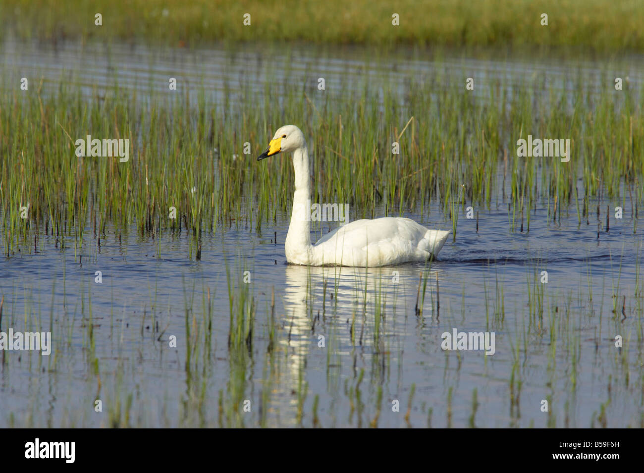 Whooper Swan On small loch in early Summer Cygnus cygnus South Uist Outer hebrides Scotland UK BI016773 - Stock Image