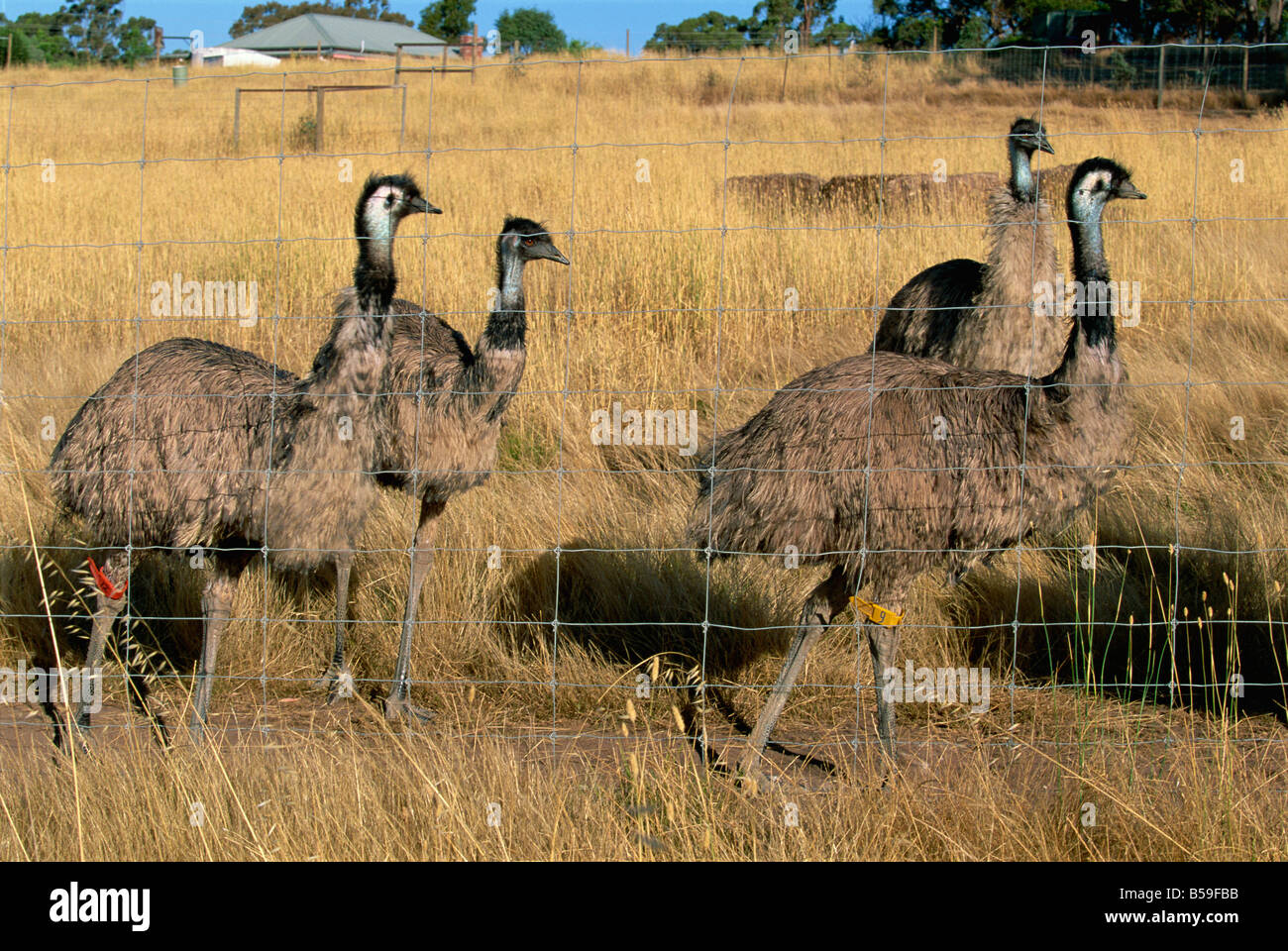 Emus at an emu farm near Rutherglen in the northeast of the state, Victoria, Australia, Pacific - Stock Image