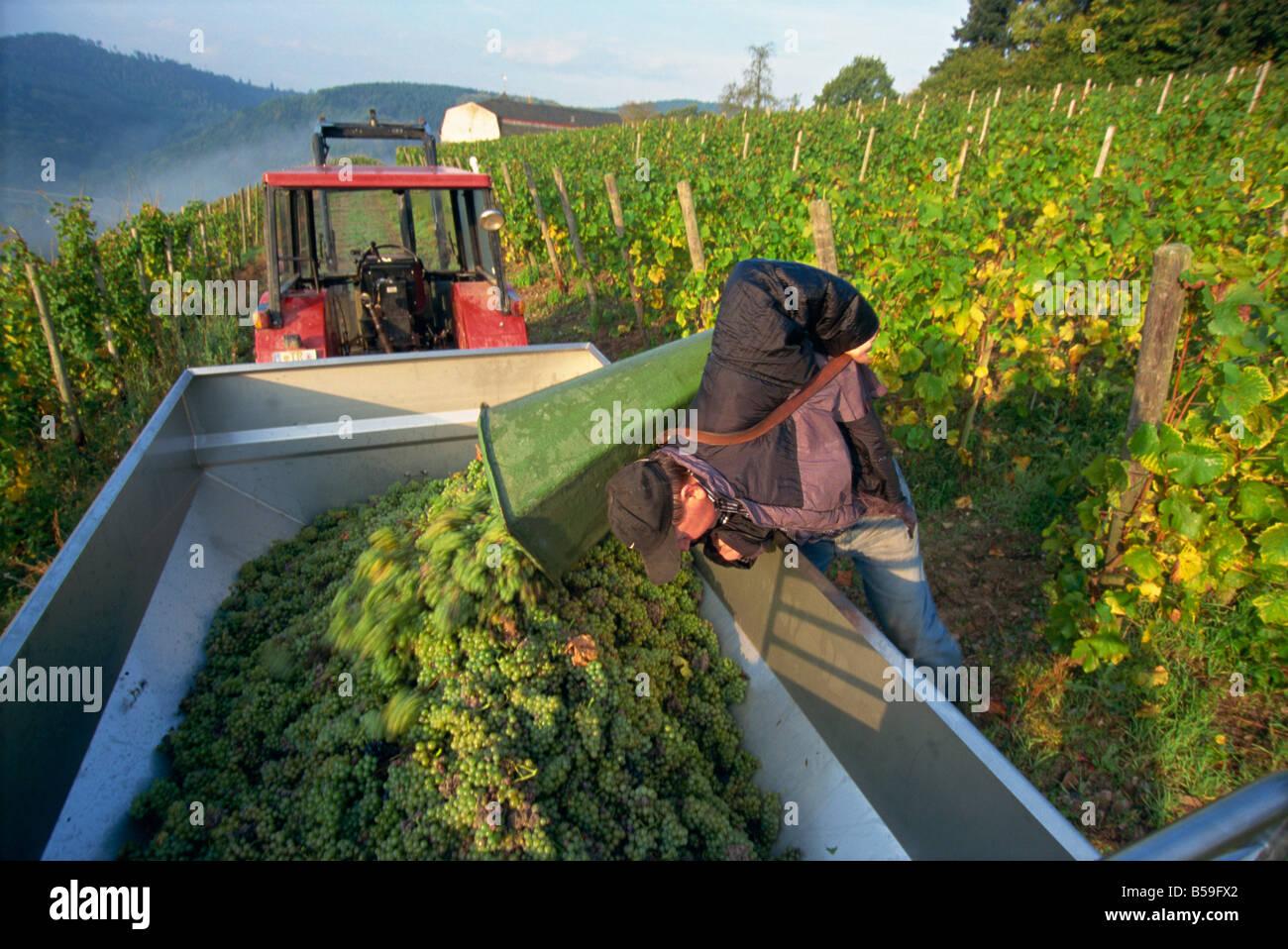 Grape harvest, Mosel Valley, Rheinland-Pfalz, Germany, Europe - Stock Image