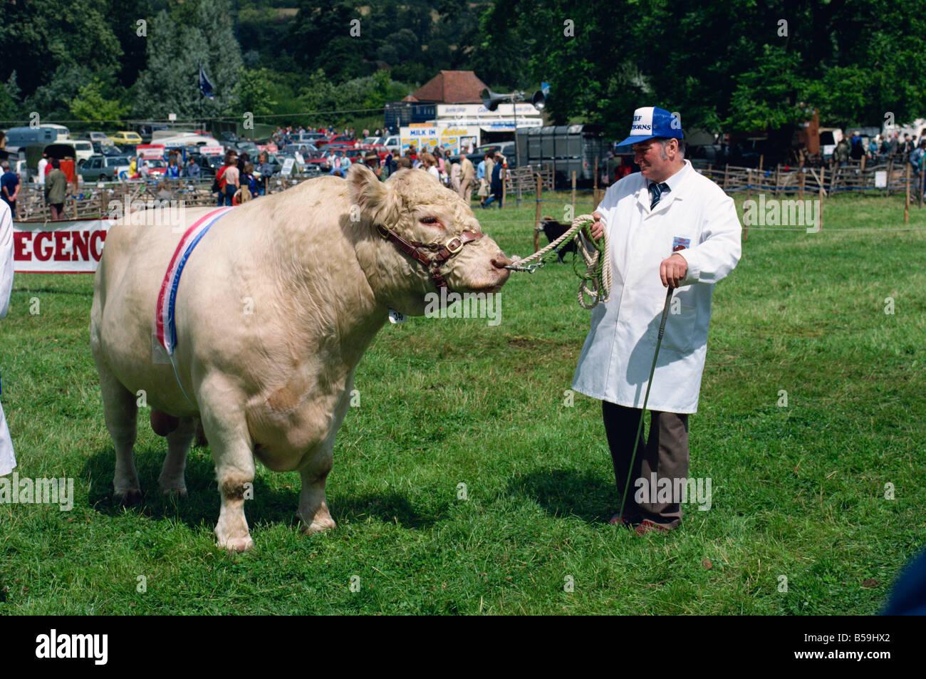 Man leading Beef Shorthorn rare breed bull at the Singleton Show G Corrigan - Stock Image