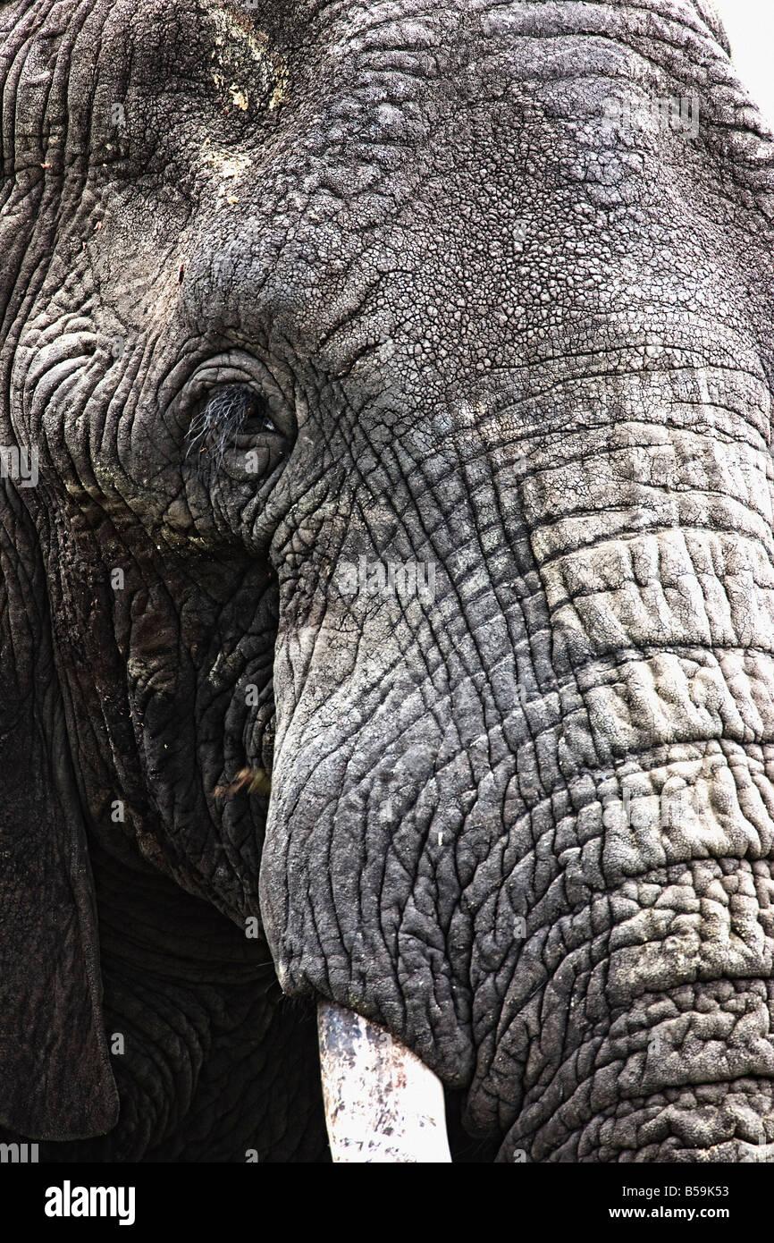 Portrait of African Bull Elephant - Stock Image