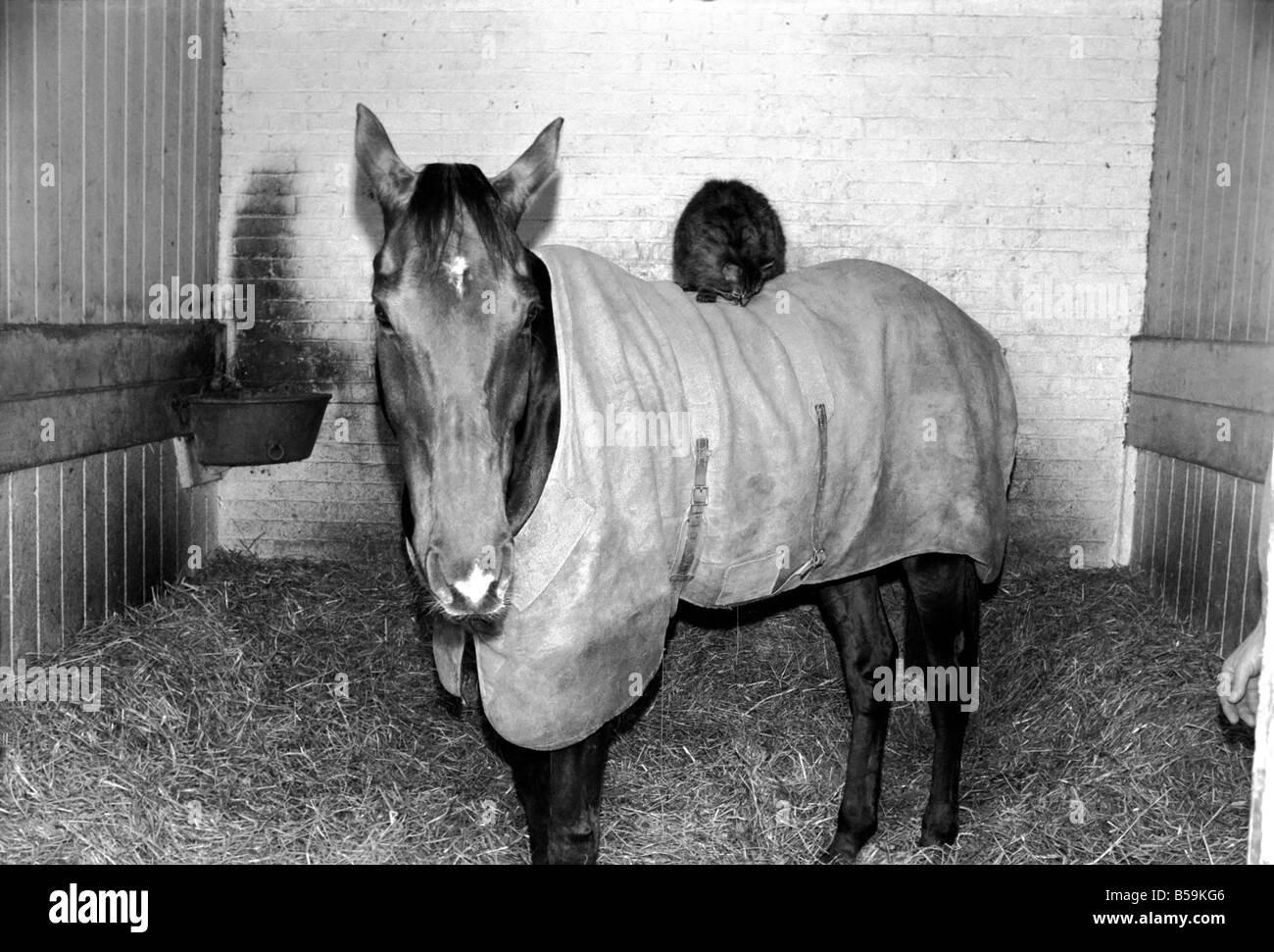 Ocean King wearing his coat was in his stall and on his back was a light weight jockey in the form of the stables - Stock Image