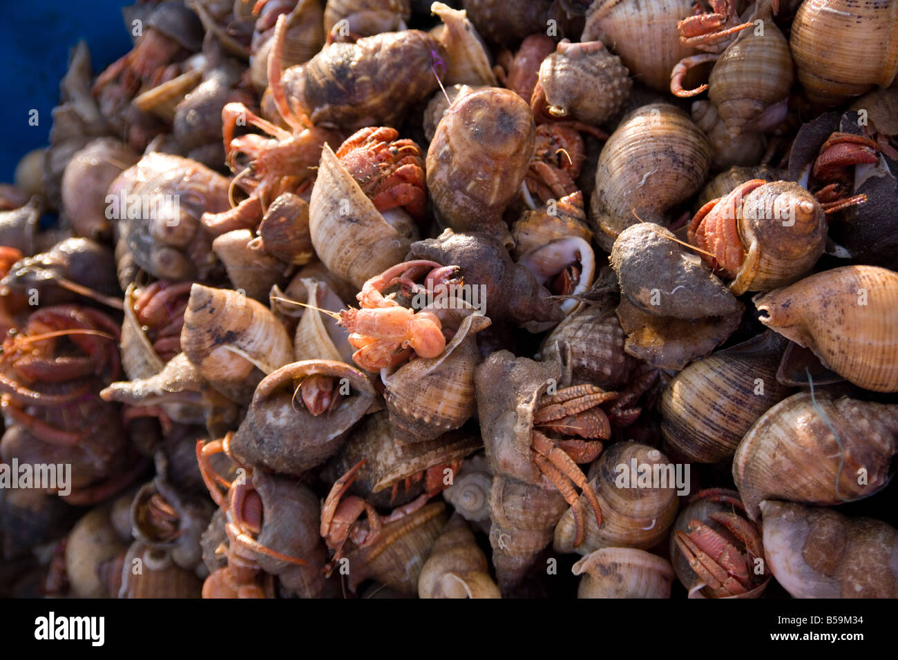 hermit crabs in the fish market in Palamos on the cami de ronda Catalonia Spain - Stock Image