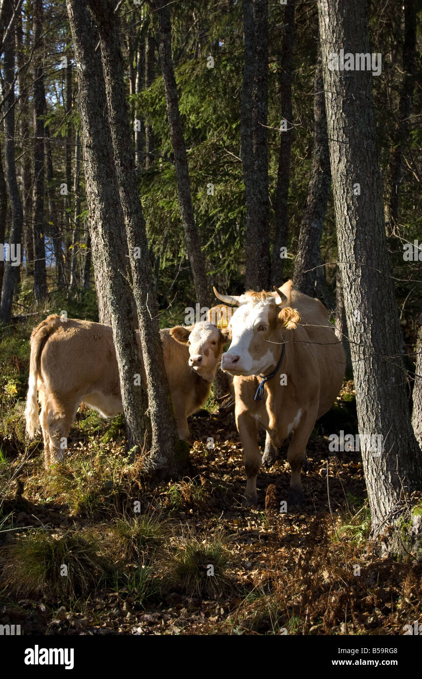 cows in a swedish forest - Stock Image
