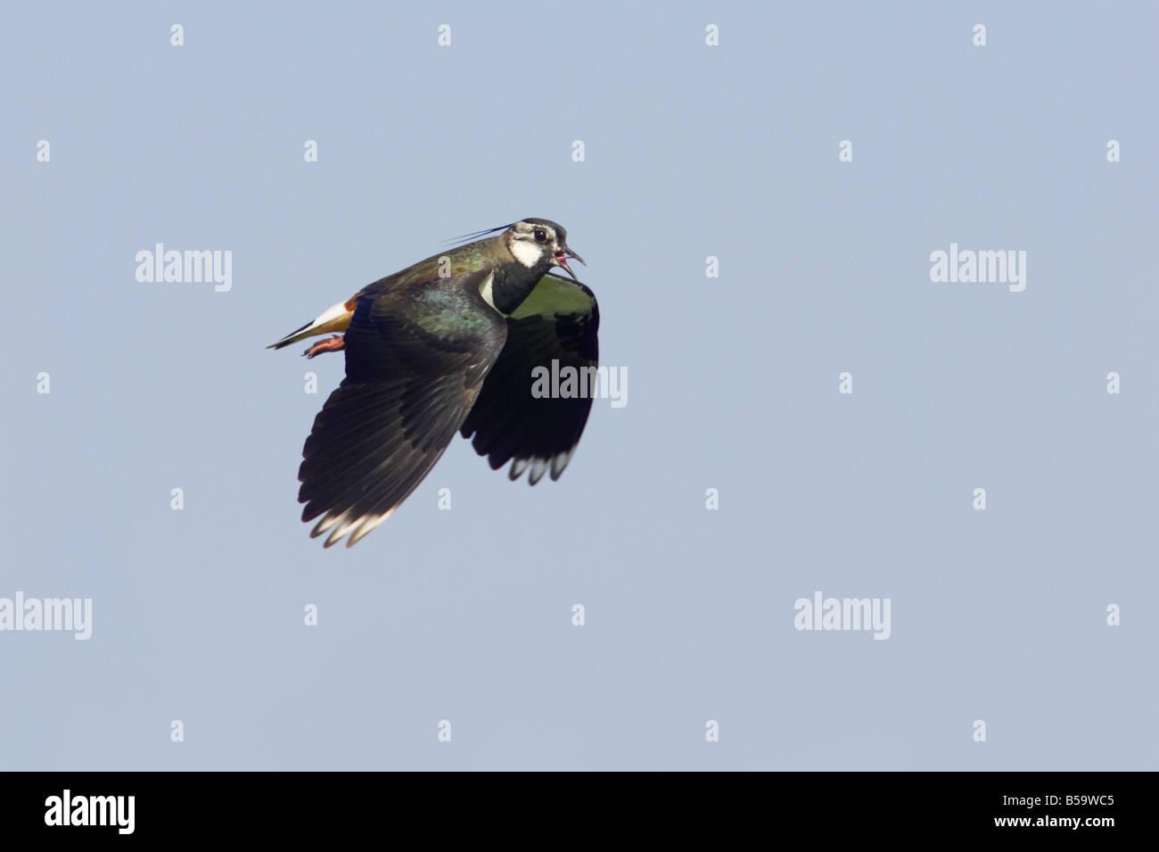 Lapwing Calling in flight Venellus venellus South Uist Outer hebrides Scotland UK BI016757 - Stock Image