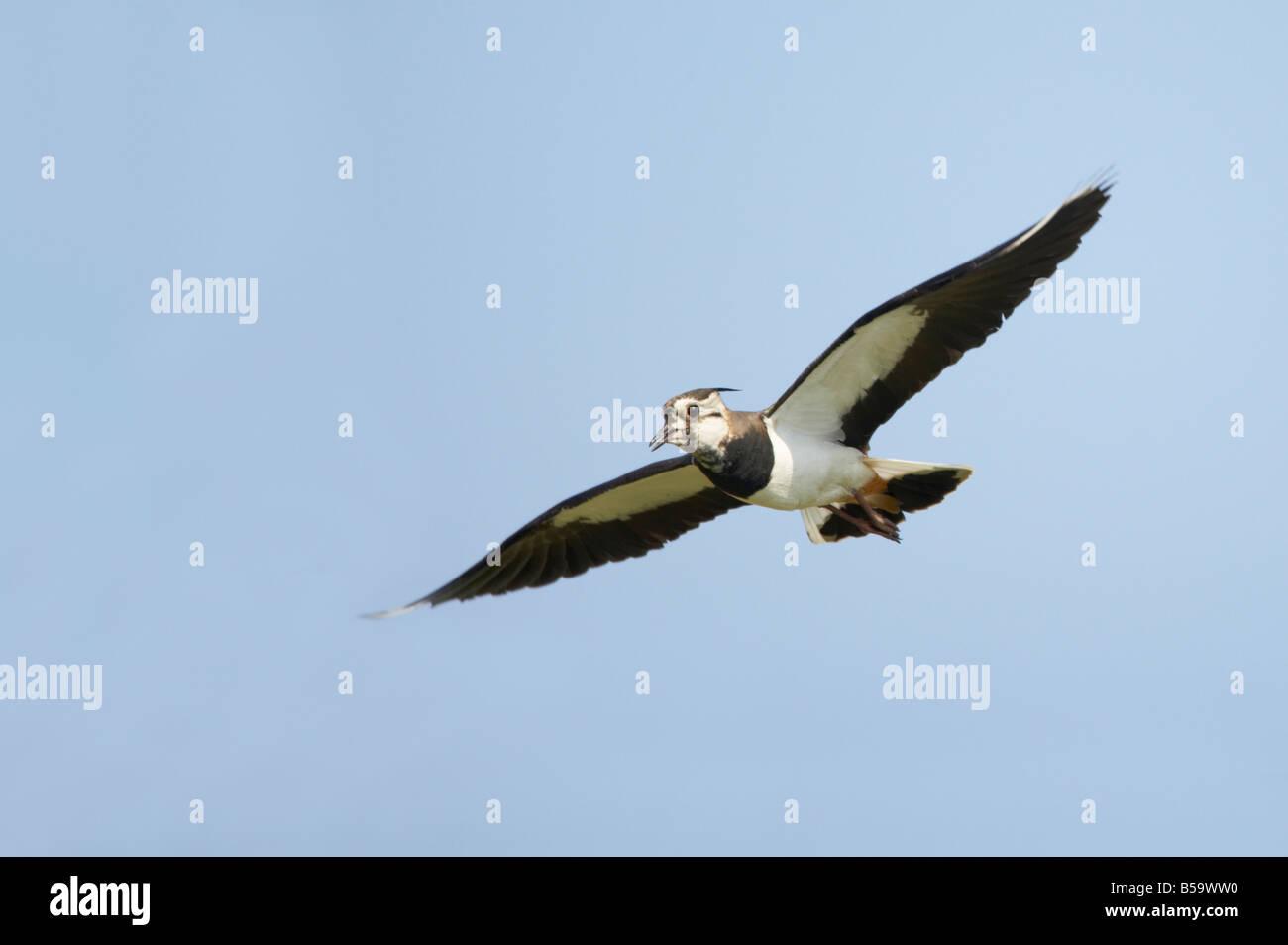 Lapwing Calling in flight Venellus venellus South Uist Outer hebrides Scotland UK BI016752 - Stock Image