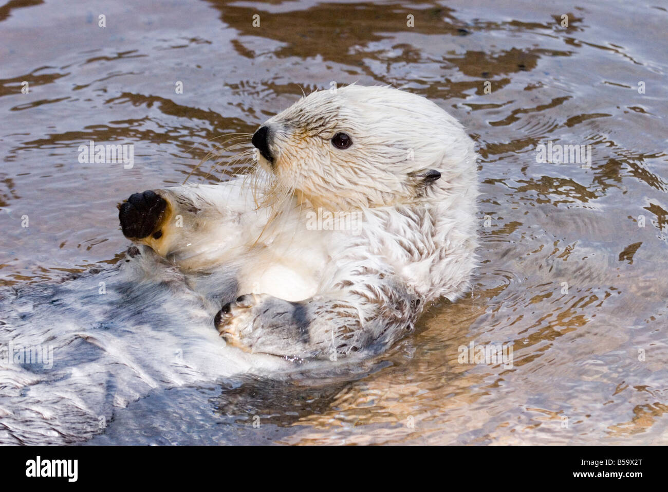 Sea Otter Enhydra lutris Pt Defiance Zoo WASHINGTON United States 3 March Older Adult Mustelidae - Stock Image