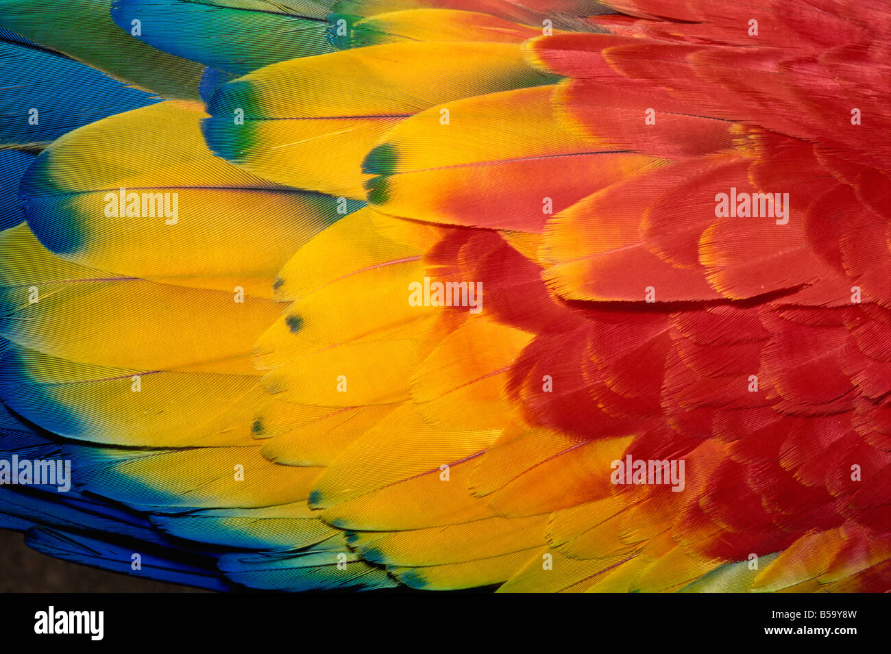 Feathers of scarlet macaw, Guatemala, Central America - Stock Image