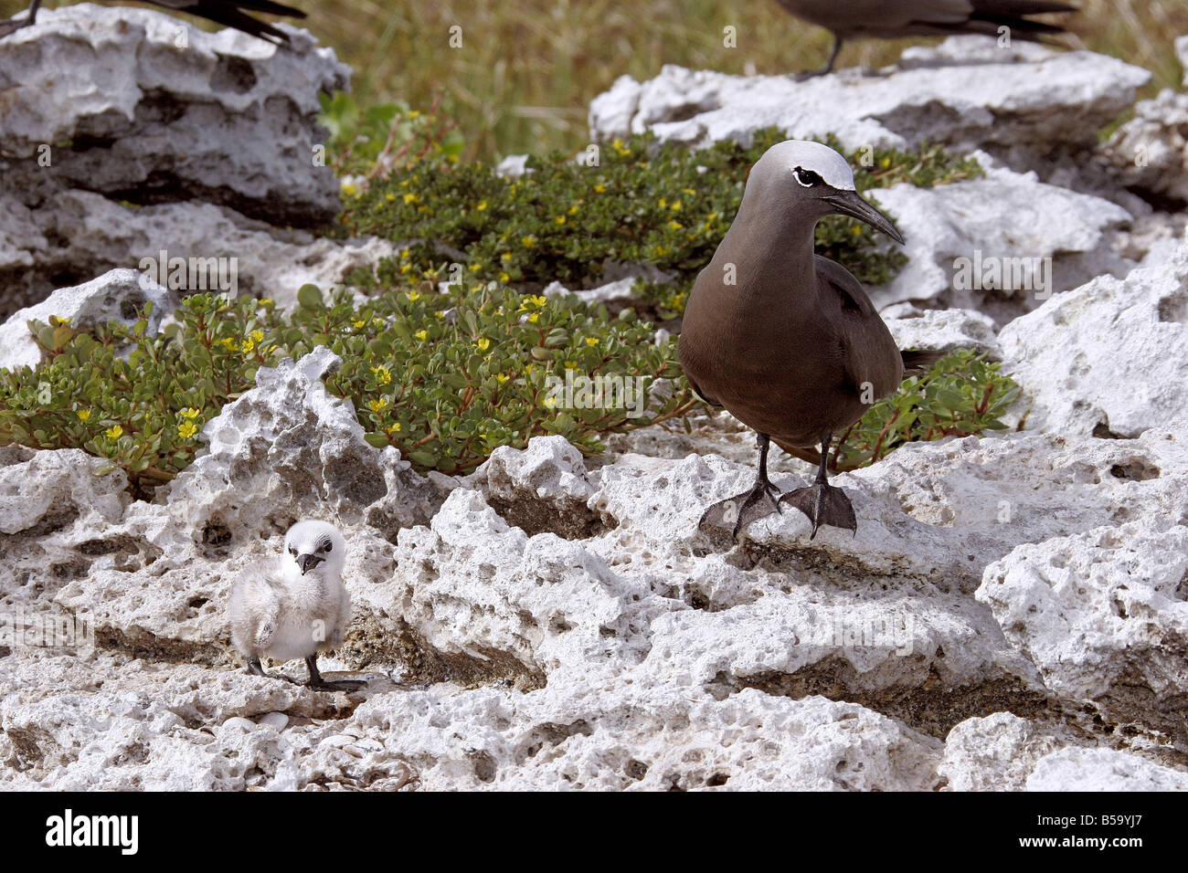Common Noddy, Brown Noddy (Anous stolidus) standing with its chick on coral rocks - Stock Image