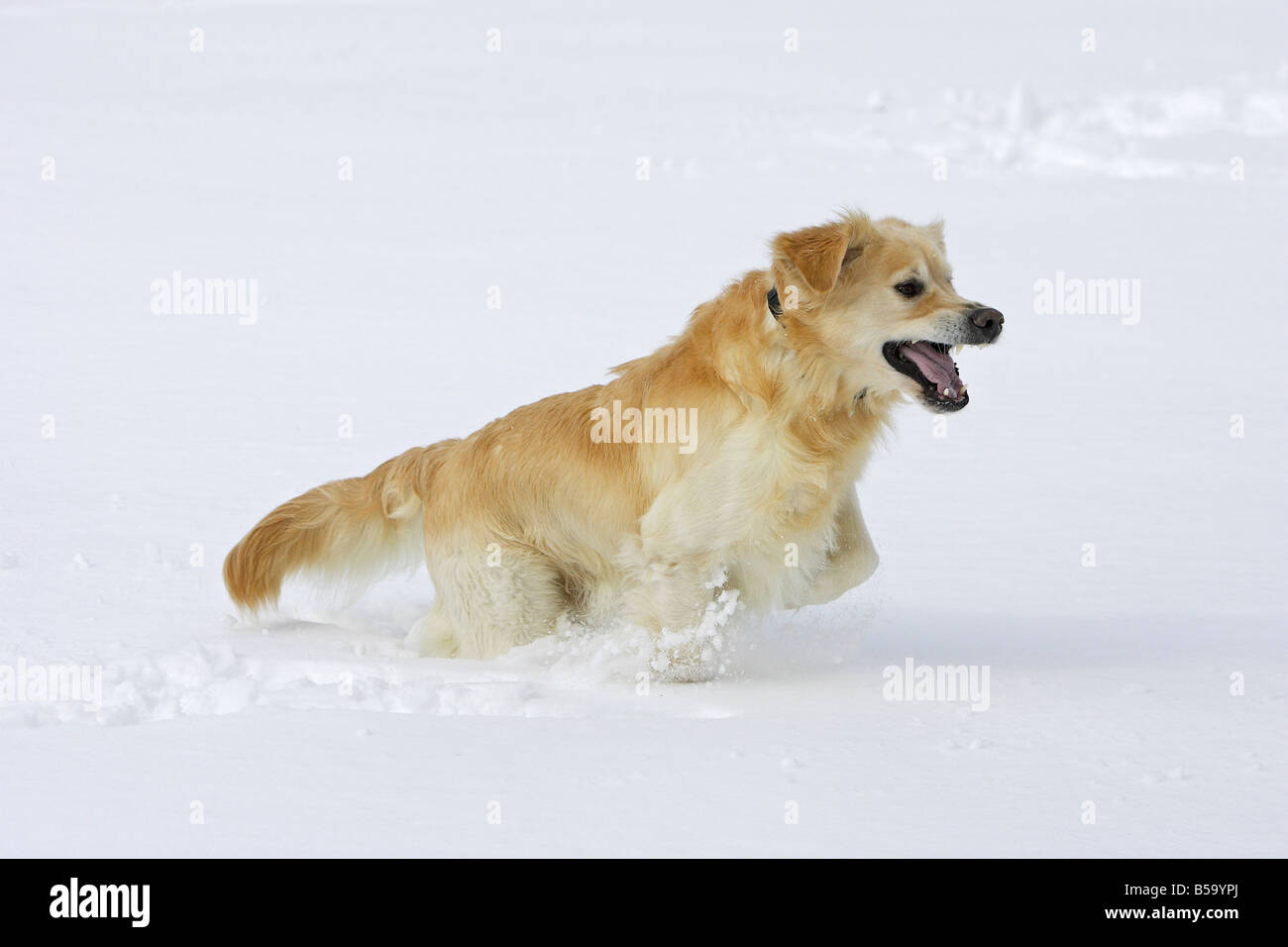 Golden Retriever (Canis lupus familiaris) playing in snow - Stock Image