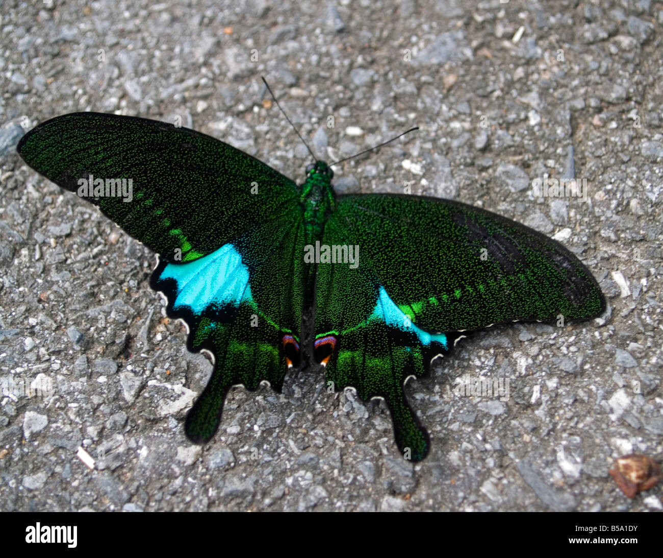 paris peacock butterfly in Khao Yai National Park Thailand Stock Photo