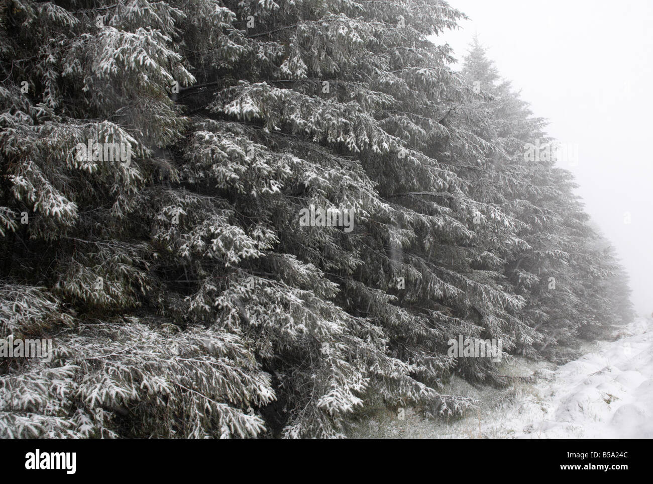 snow and ice covering conifer trees in a forest county antrim northern ireland uk - Stock Image