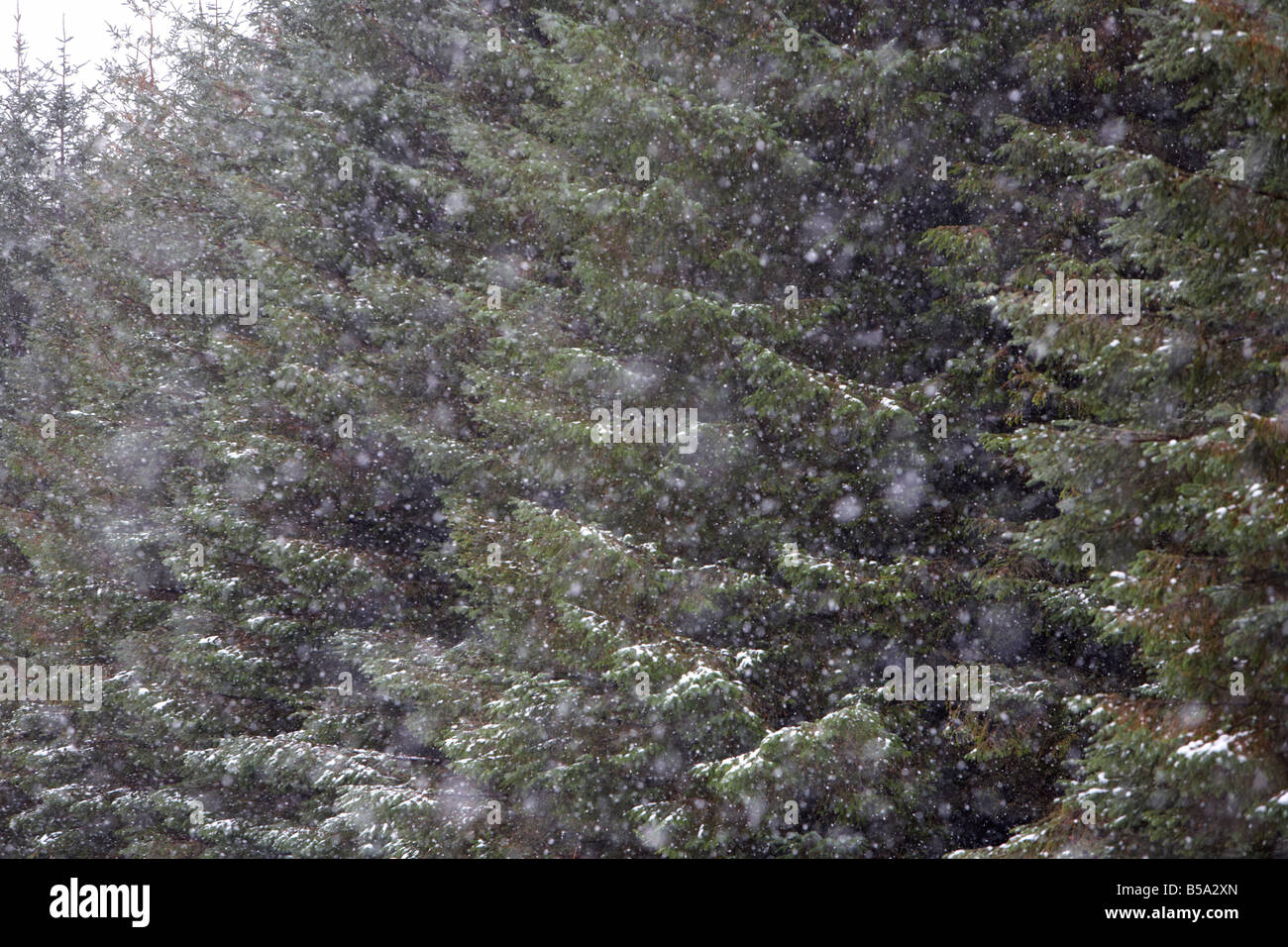 snow falling on evergreen conifer pine trees in a forest in county antrim northern ireland uk - Stock Image