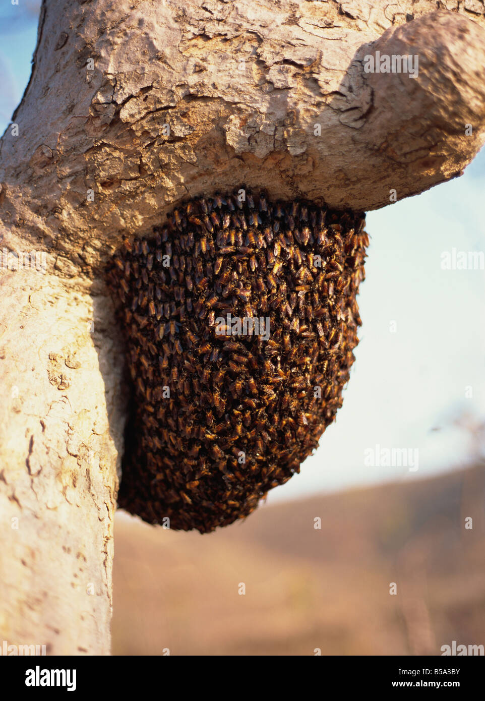 Swarm of wild bees hanging from a tree Maharashtra India Asia - Stock Image