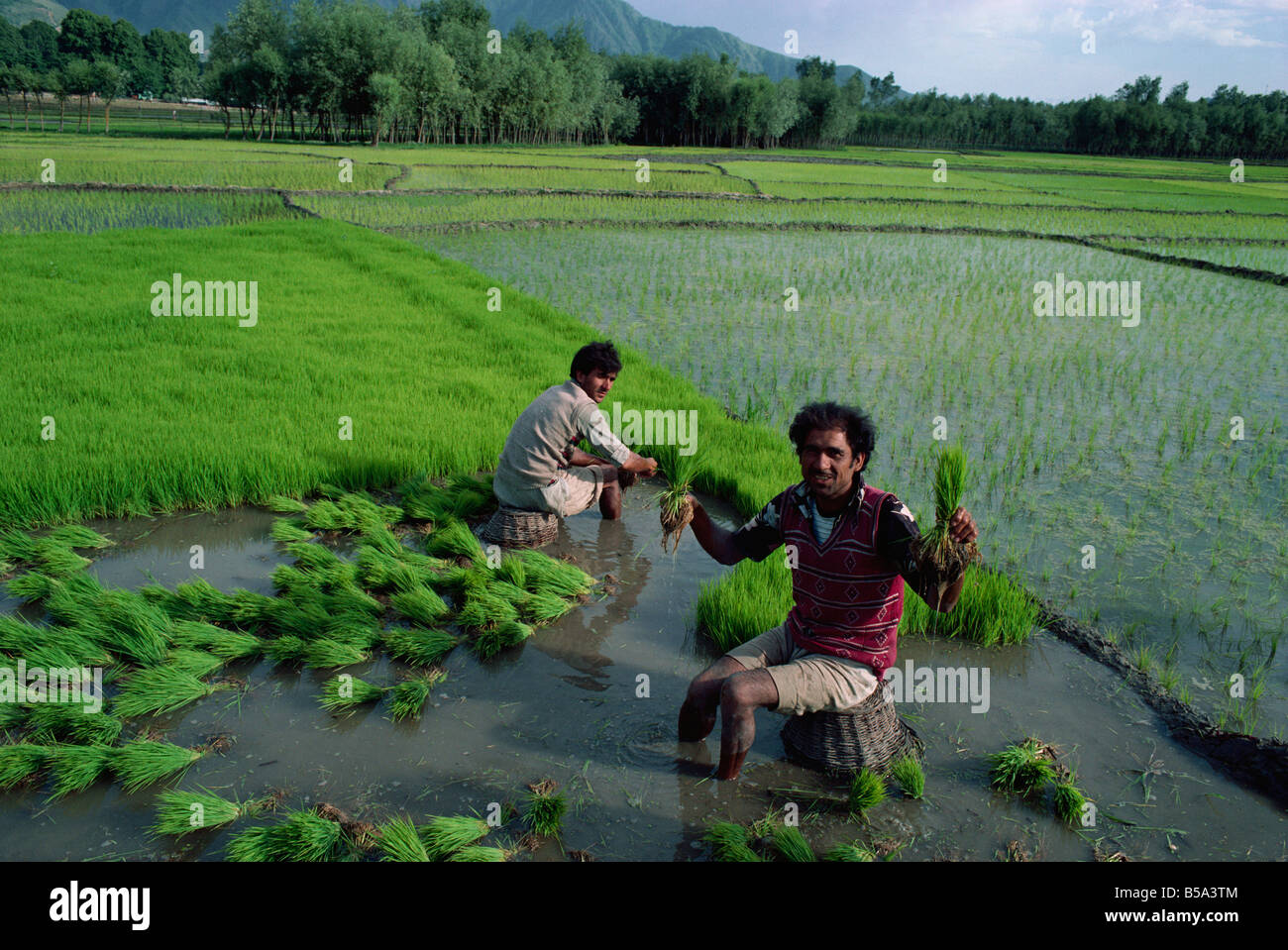 Planting rice paddy fields Kashmir India Asia - Stock Image