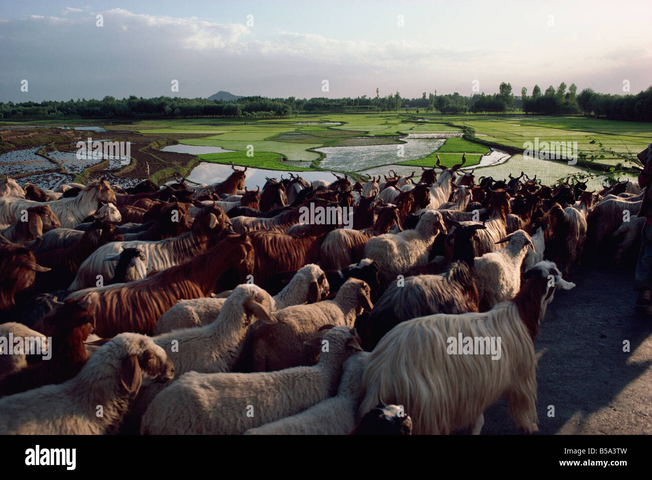 Herd of goats and paddy fields Kashmir India Asia - Stock Image