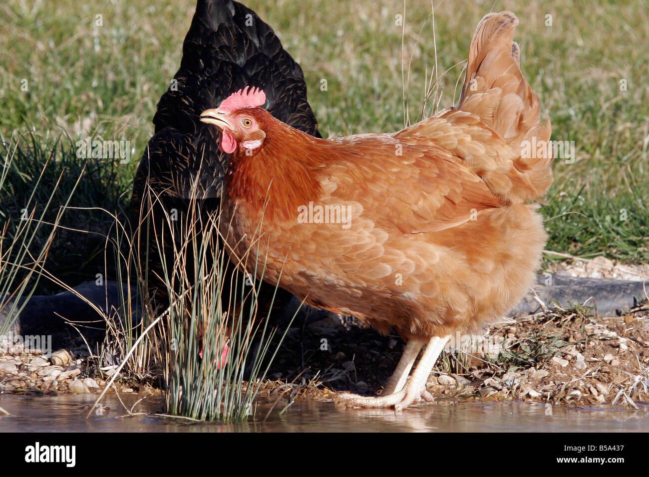Domestic Chicken (Gallus gallus domesticus), hen drinking - Stock Image