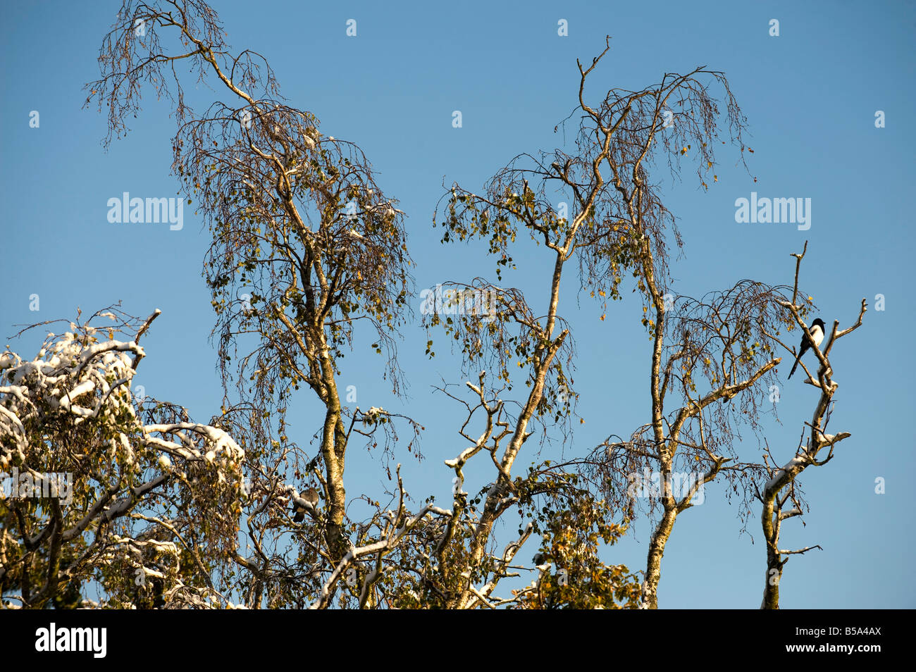 Snow on branches in October - 1 - Stock Image