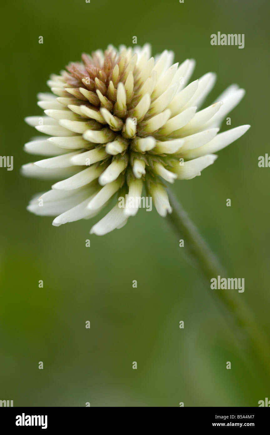 Clover, Wild flowers, Otztal valley, Tyrol, Austria Stock Photo