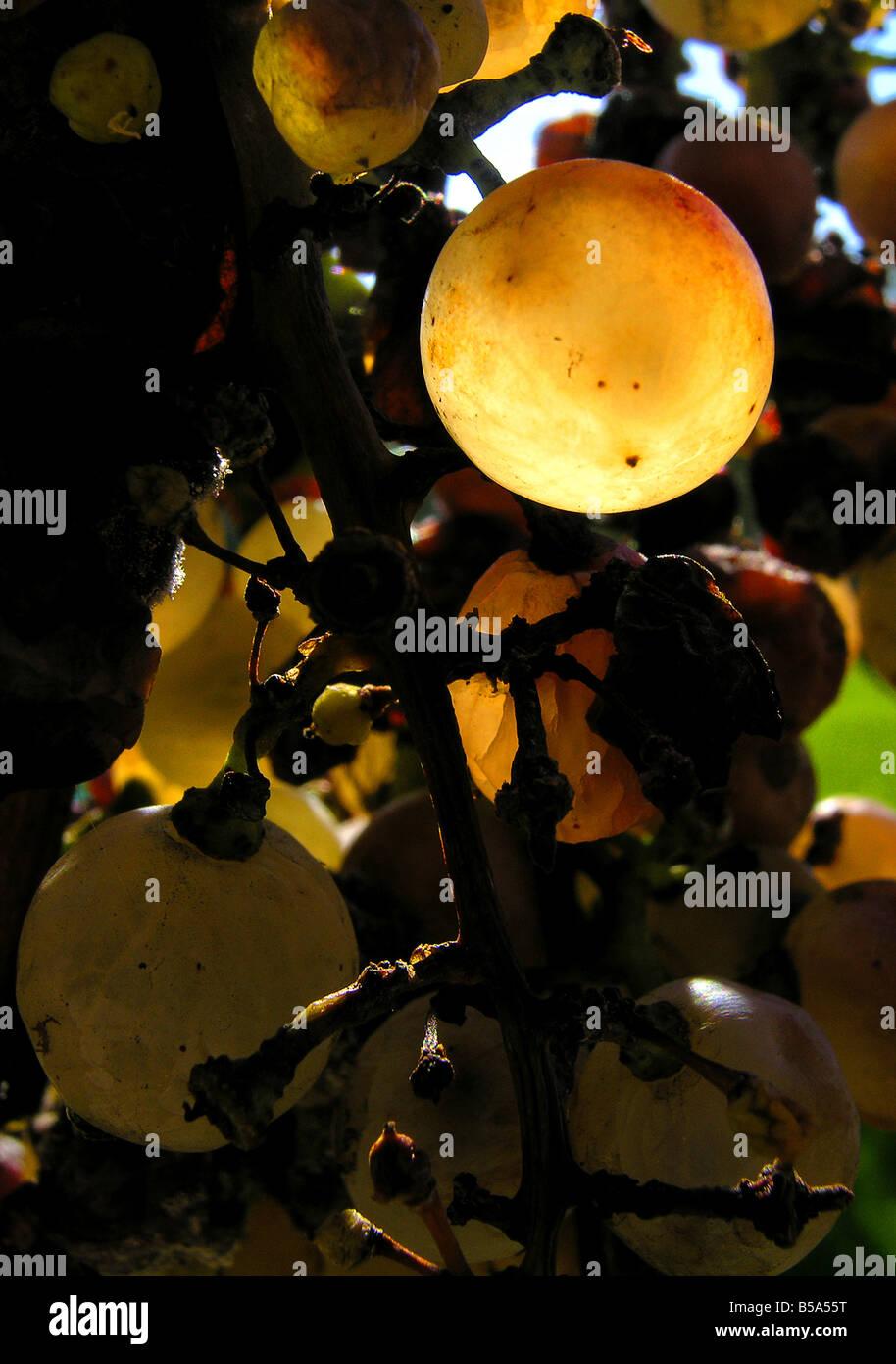 Grape Vine (Vitis vinifera), grapes in evening light Stock Photo