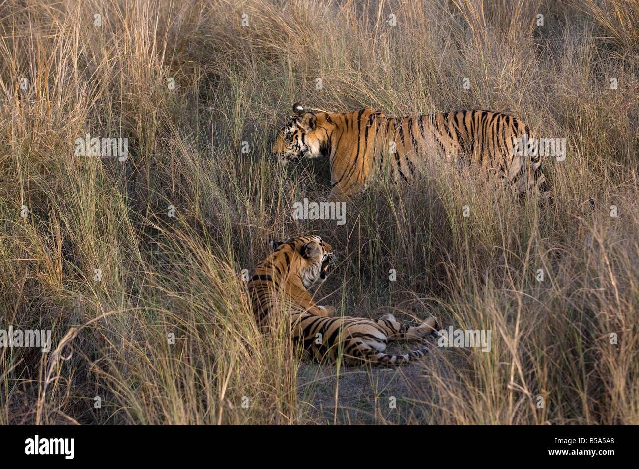 Indian Tiger (Bengal tiger) (Panthera tigris tigris) yawning, Bandhavgarh National Park, Madhya Pradesh state, India - Stock Image