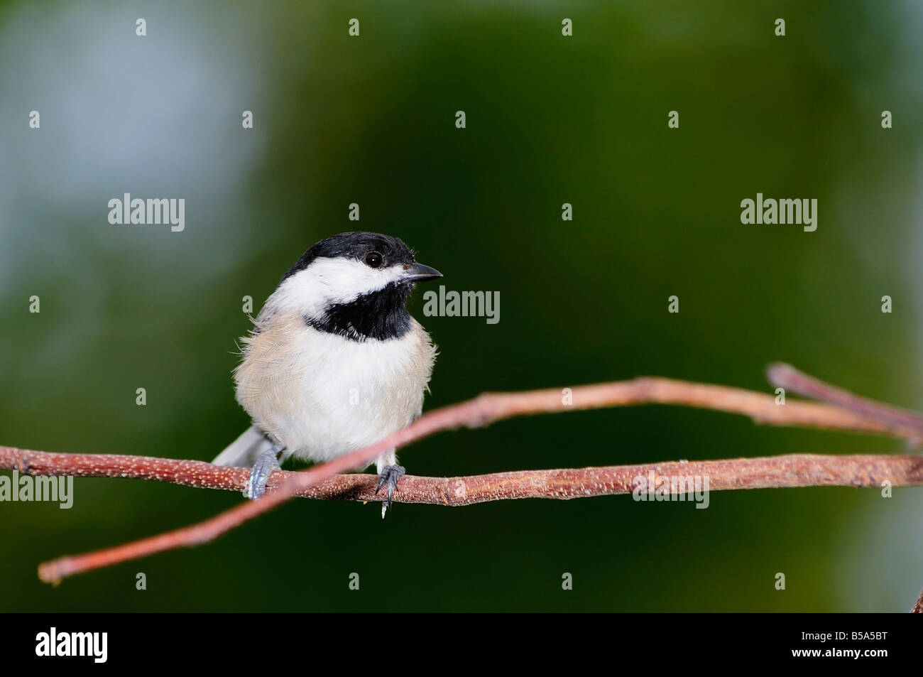 A Black-capped Chickadee, Poecile atricapilla, perches on a bare branch in Oklahoma, USA. - Stock Image