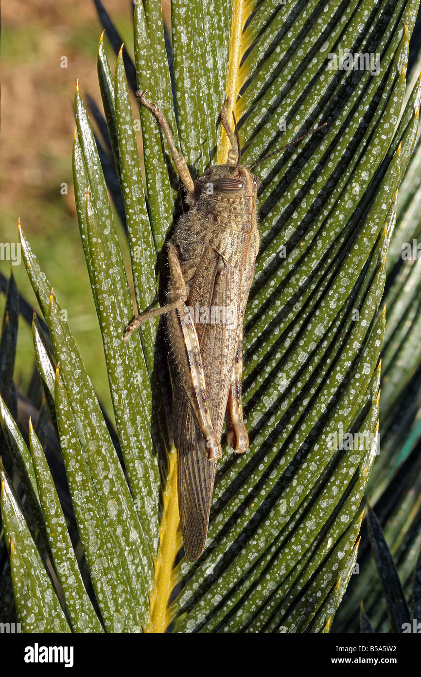 Egyptian Locust (Anacridium aegyptium) on palm frond - Stock Image