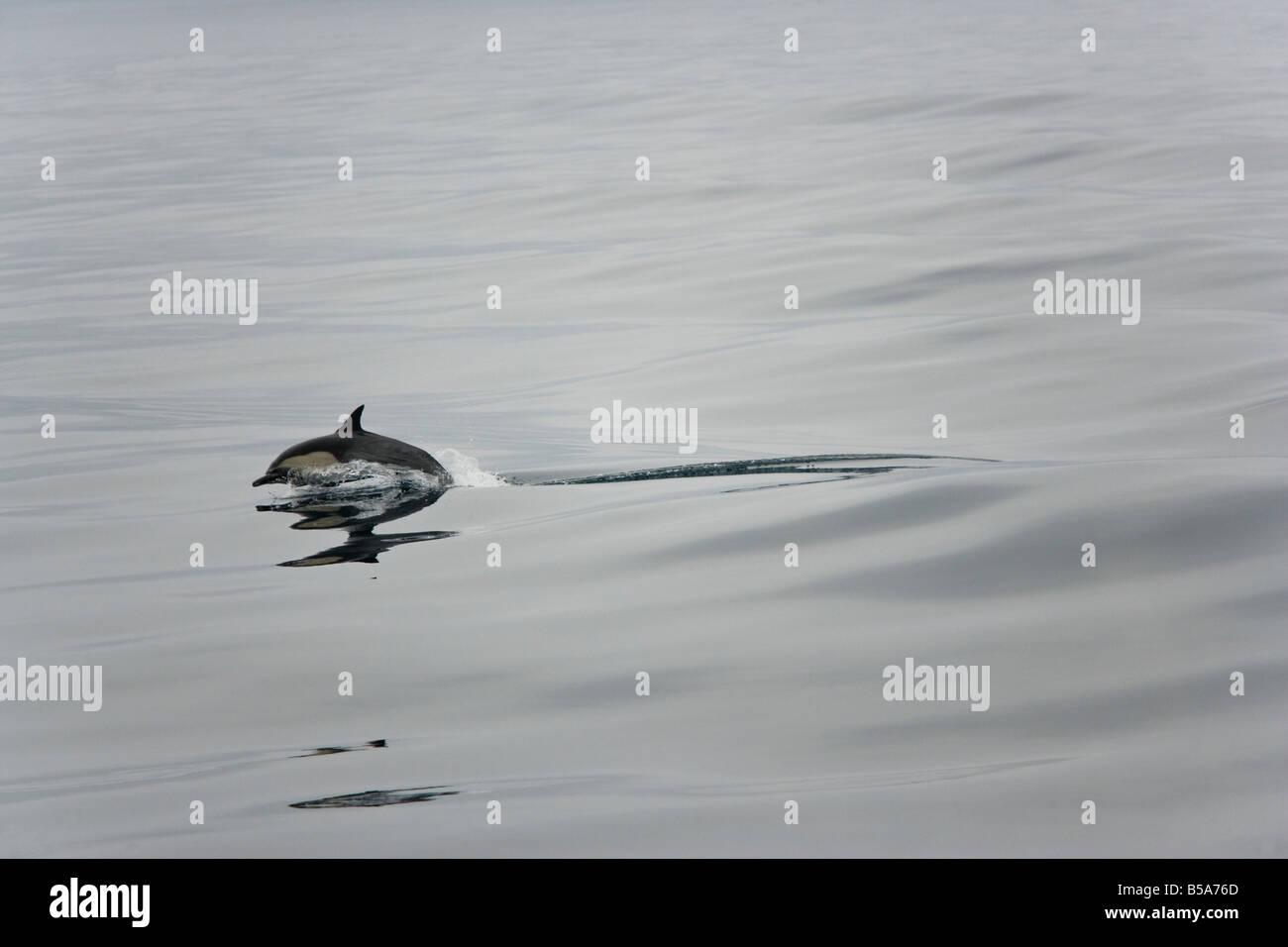 Common dolphin breaching near the coast of Ventura CA - Stock Image