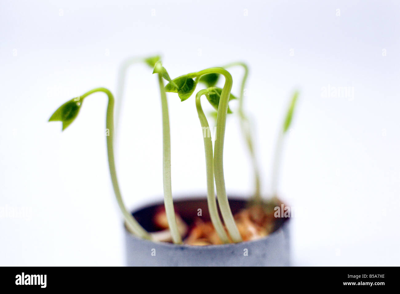 The sprouts. - Stock Image